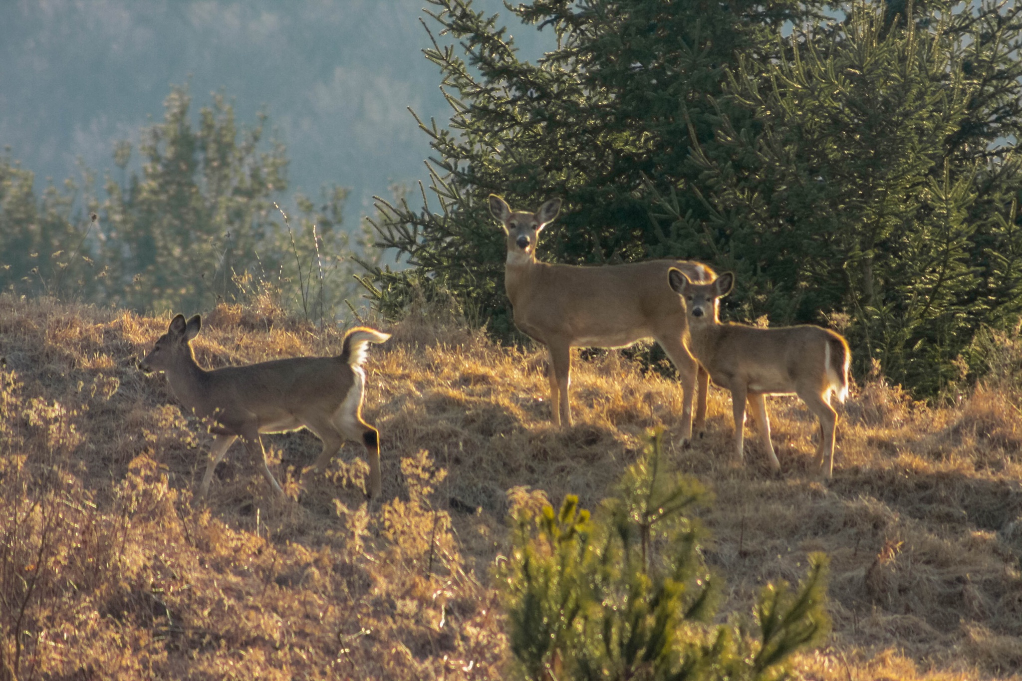 3 deer on a hill by guitarplayer2571