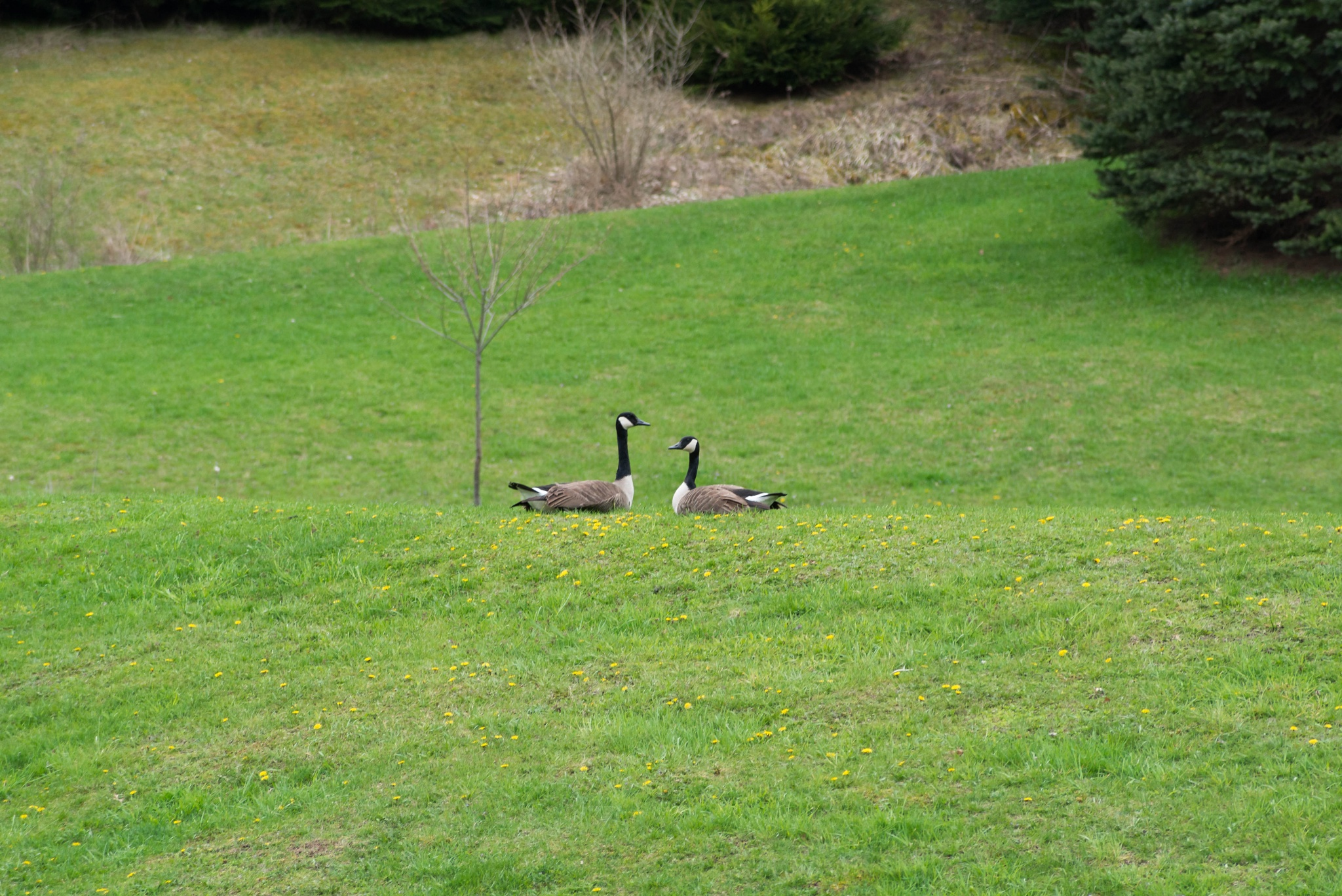 geese by guitarplayer2571