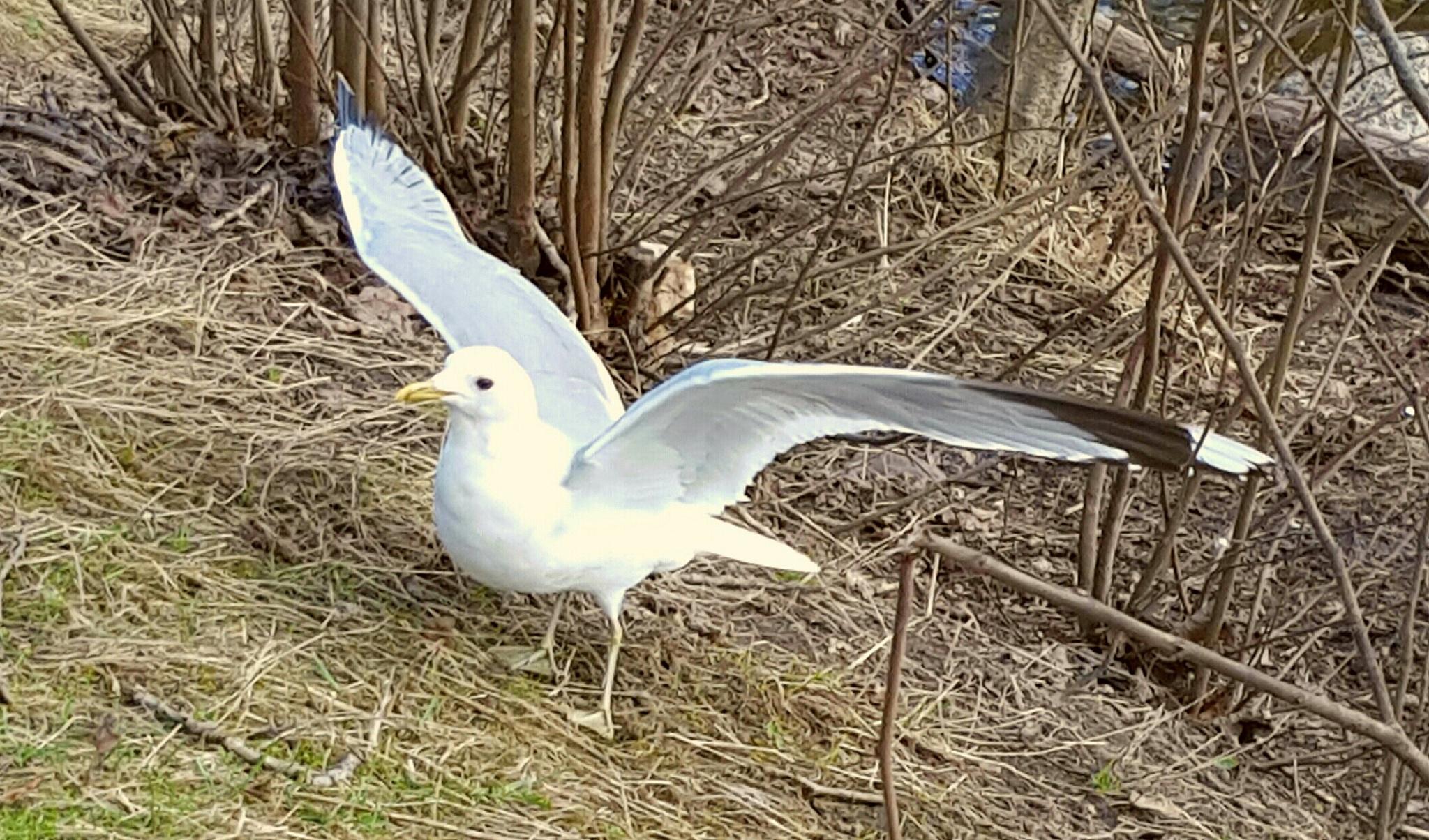 Seagull by Susanne Brännström