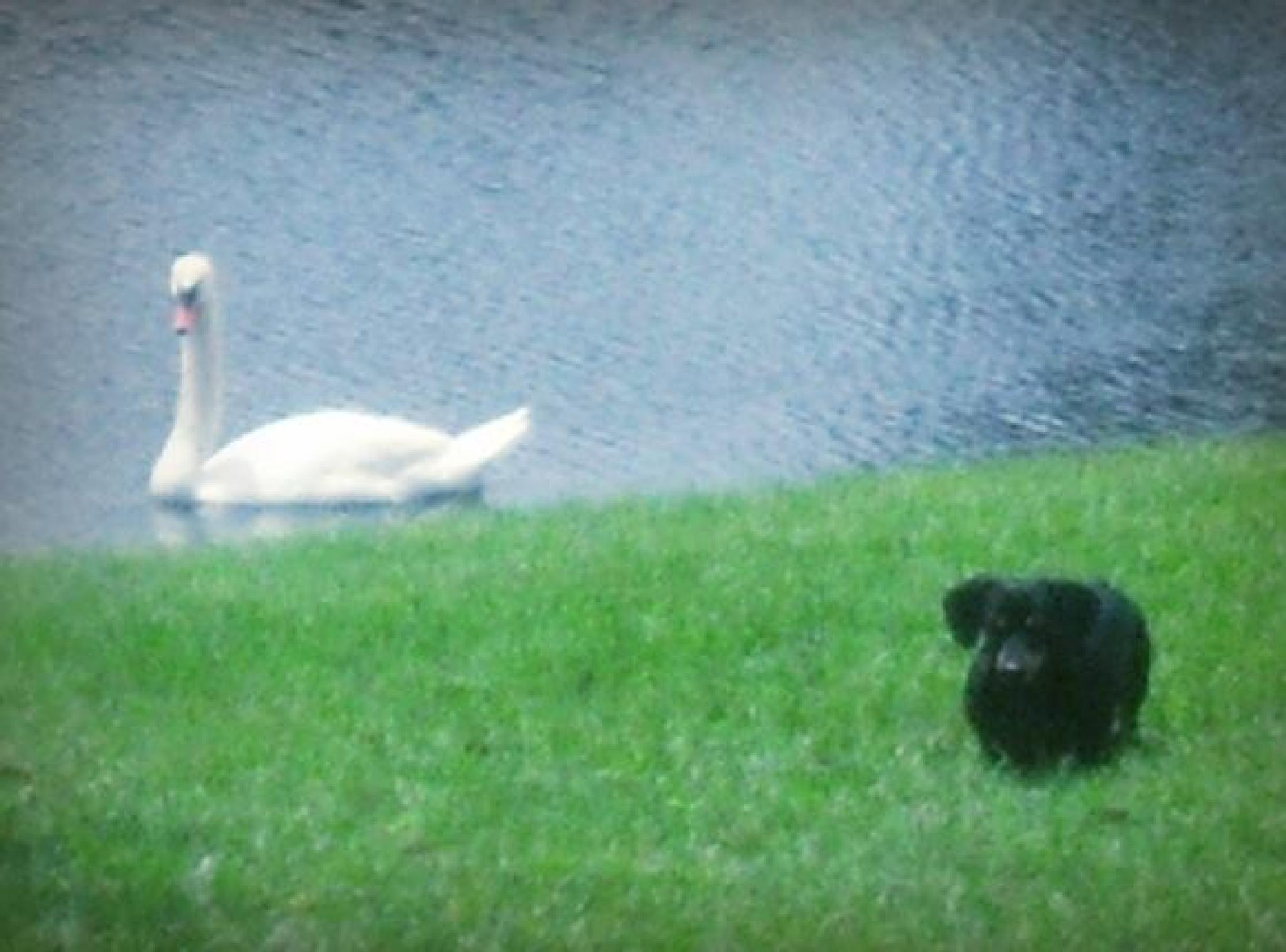 Dachshund and Swan by tracwallace