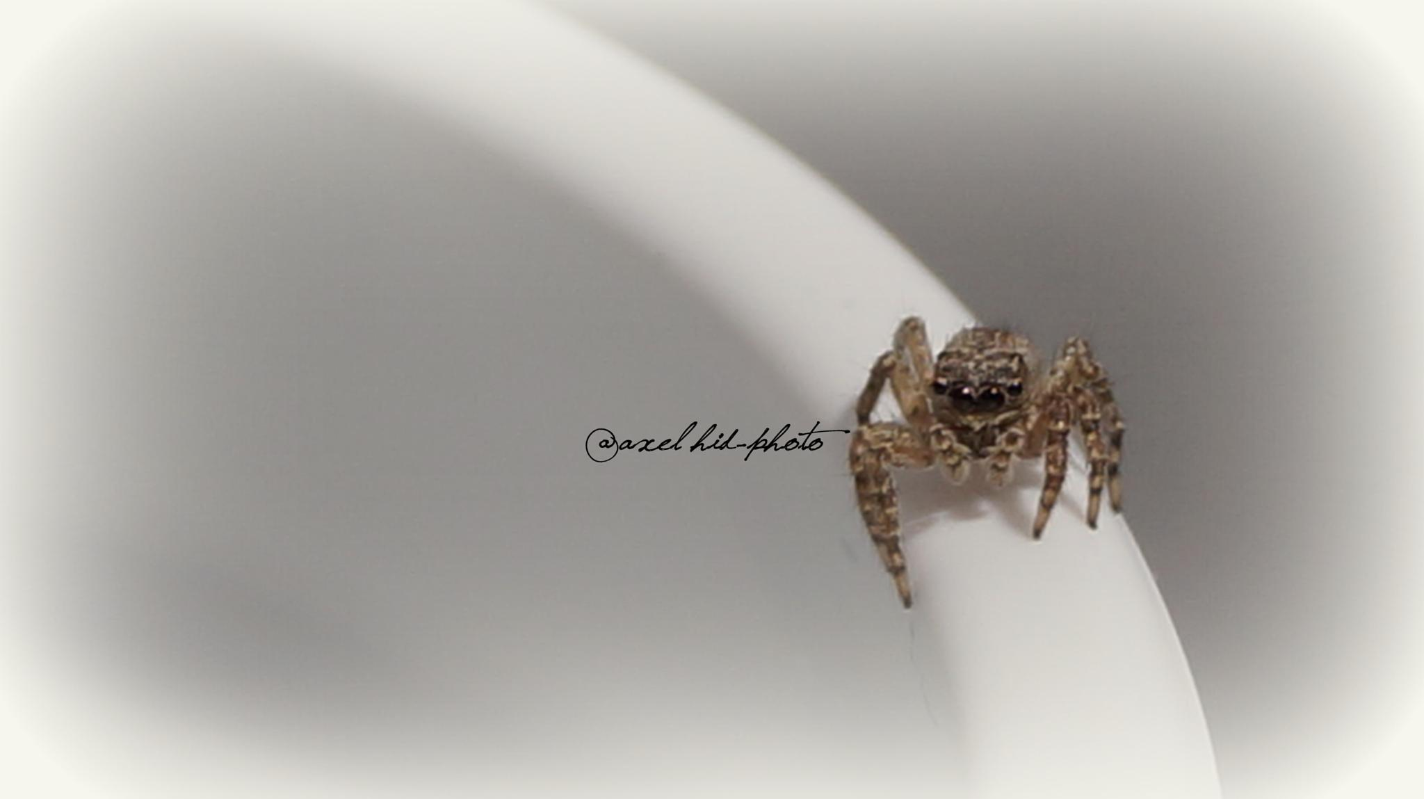 Salticidae by @axel hid-photo