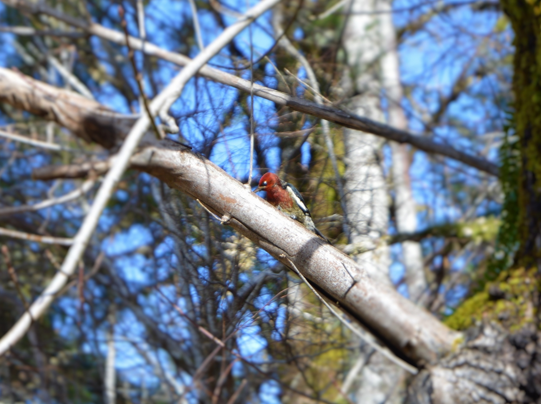 woodpecker by virginia.parsons.7