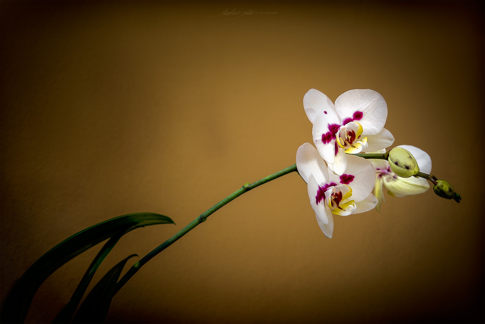 Orchids by andres.mateo.73