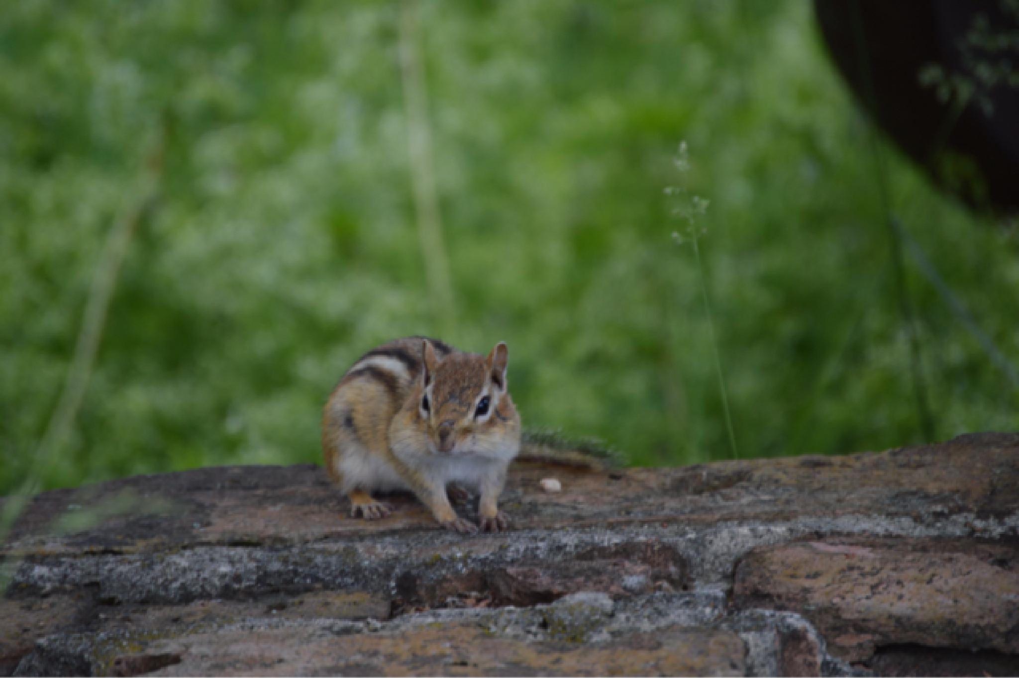 Photo in Animal #lakegeorge #chipmunk #nature #littleanimal