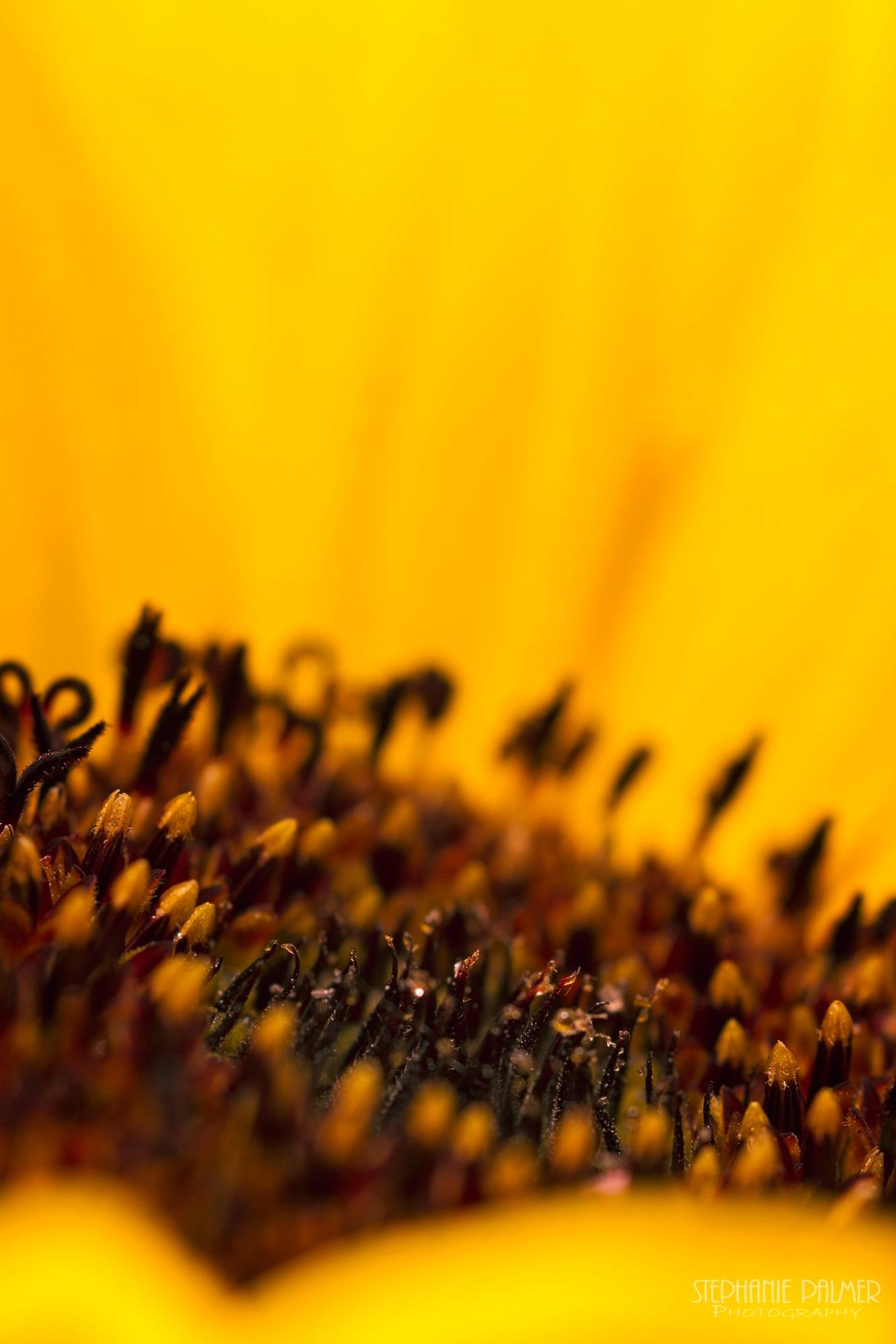 I - Sunflower Series by Stephanie Palmer