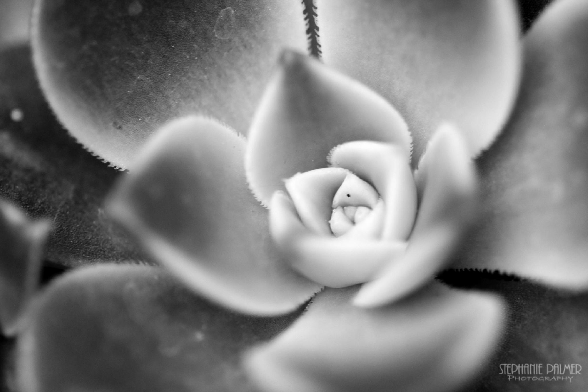 Succulent - 3 by Stephanie Palmer