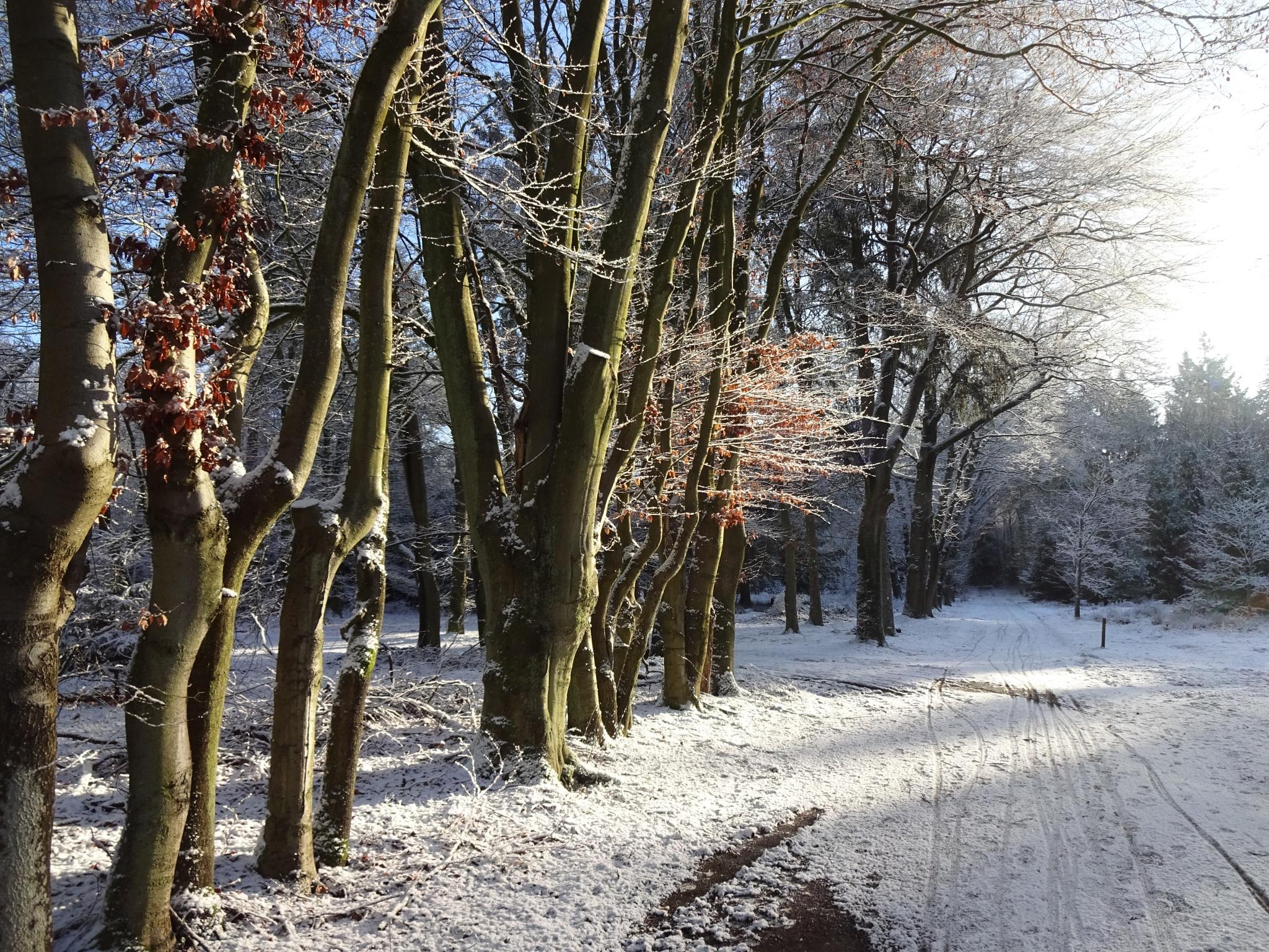 Sunny winter forest by gvanderzanden