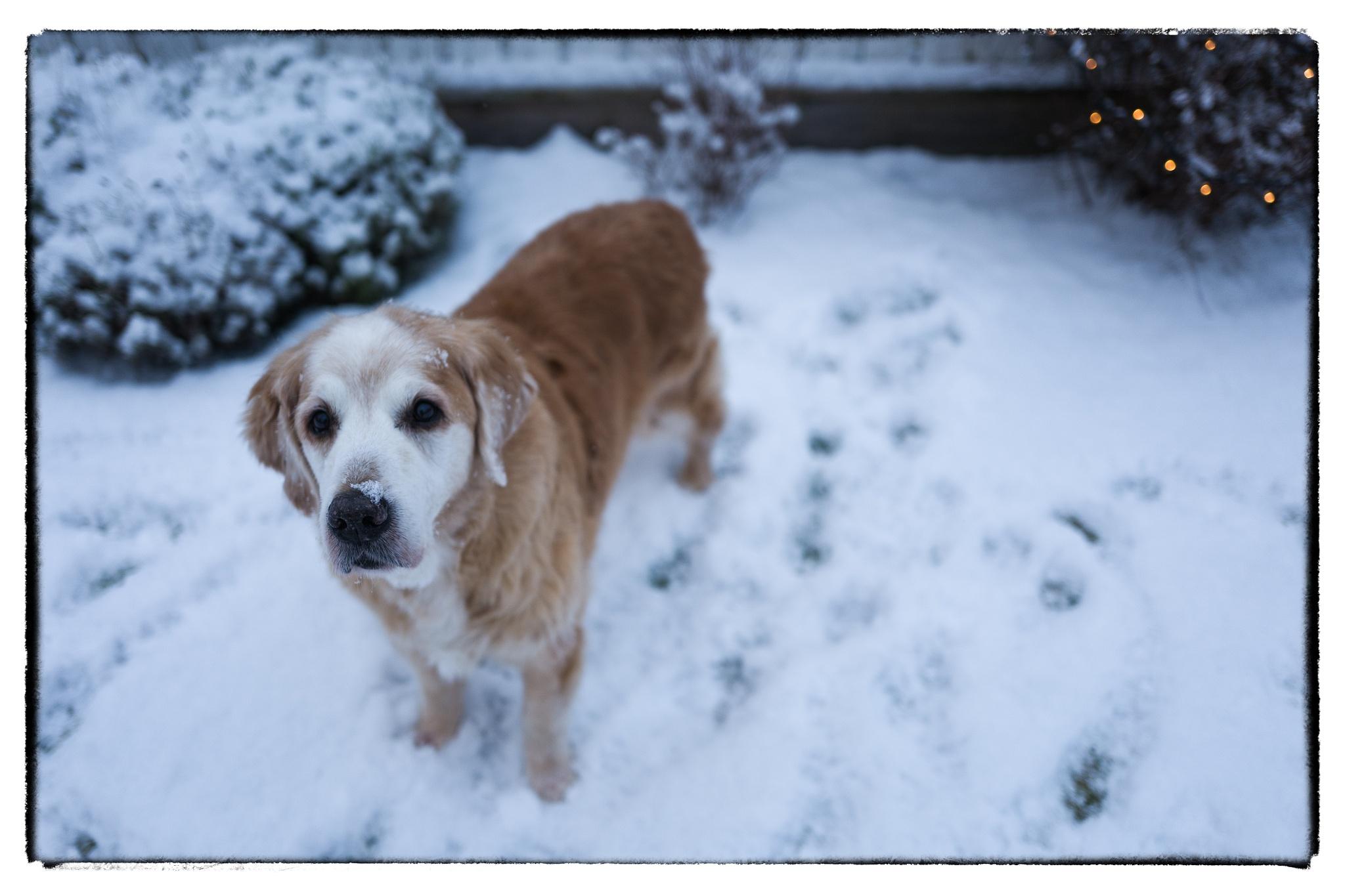 Photo in Animal #golden retriever #dog #animal #winter #snow #leica