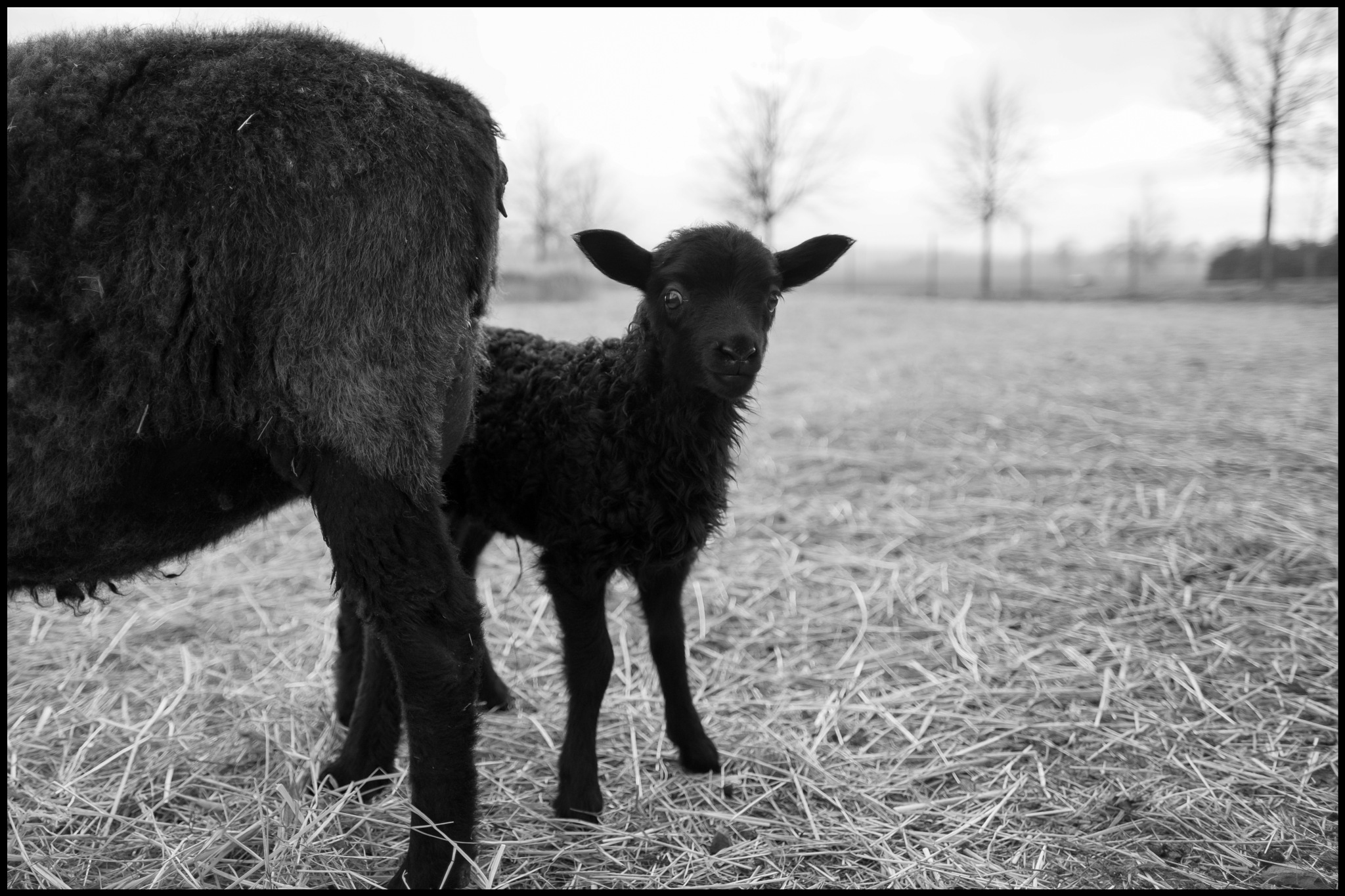 Photo in Black and White #animal #sheep #østfold #farm #norway #fuji
