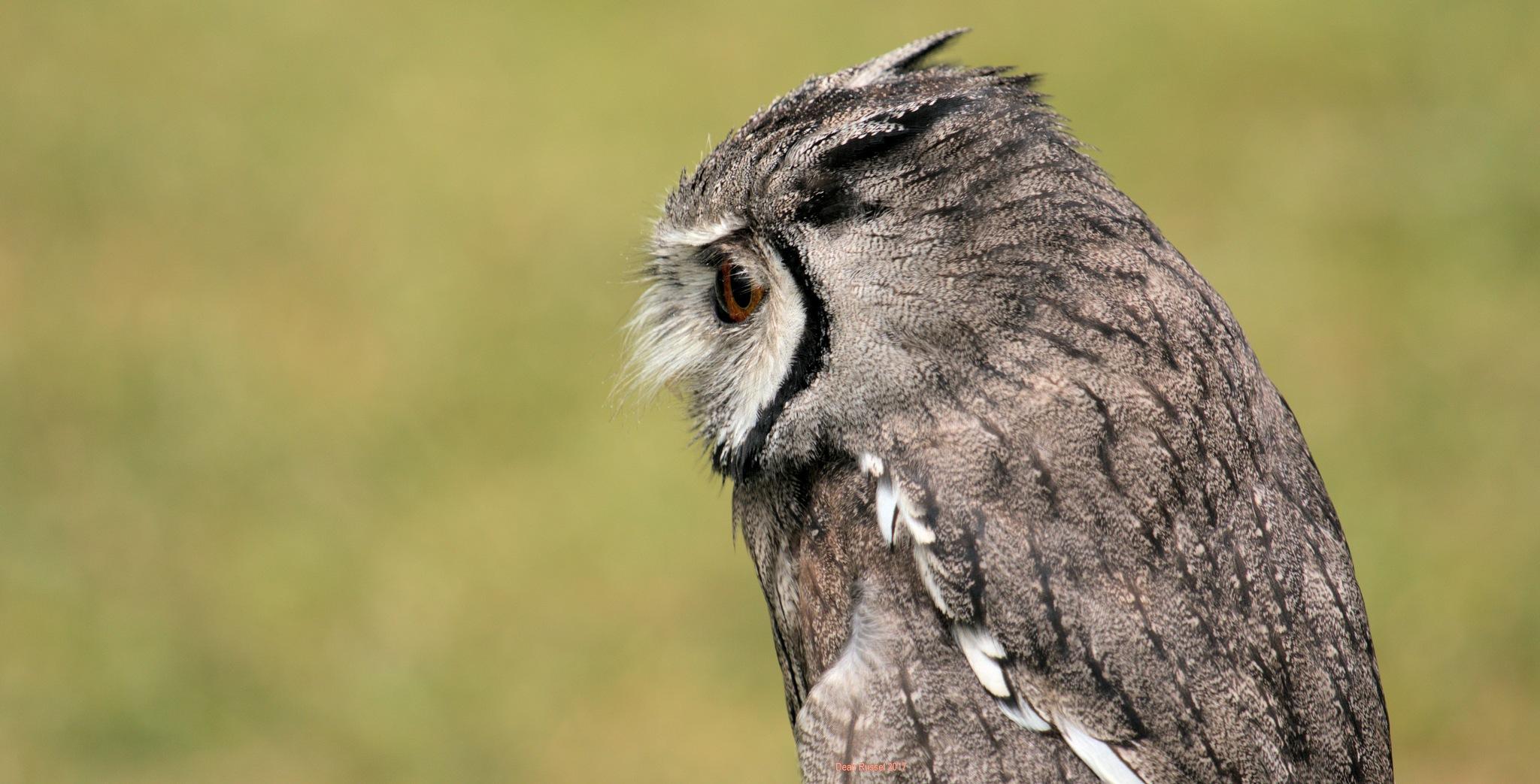 Long Eared Owl by dean.russell.3551