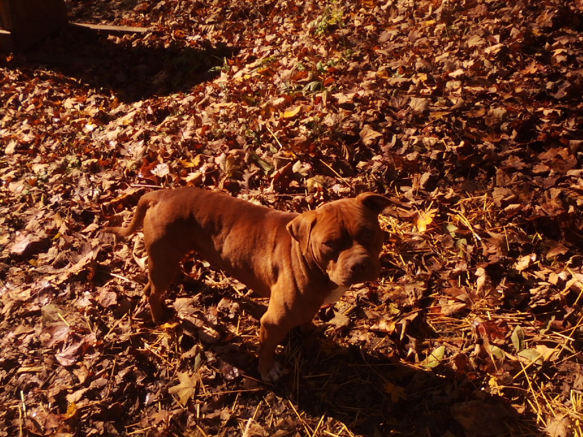 Photo in Animal #pitbull #dog #fall #animals