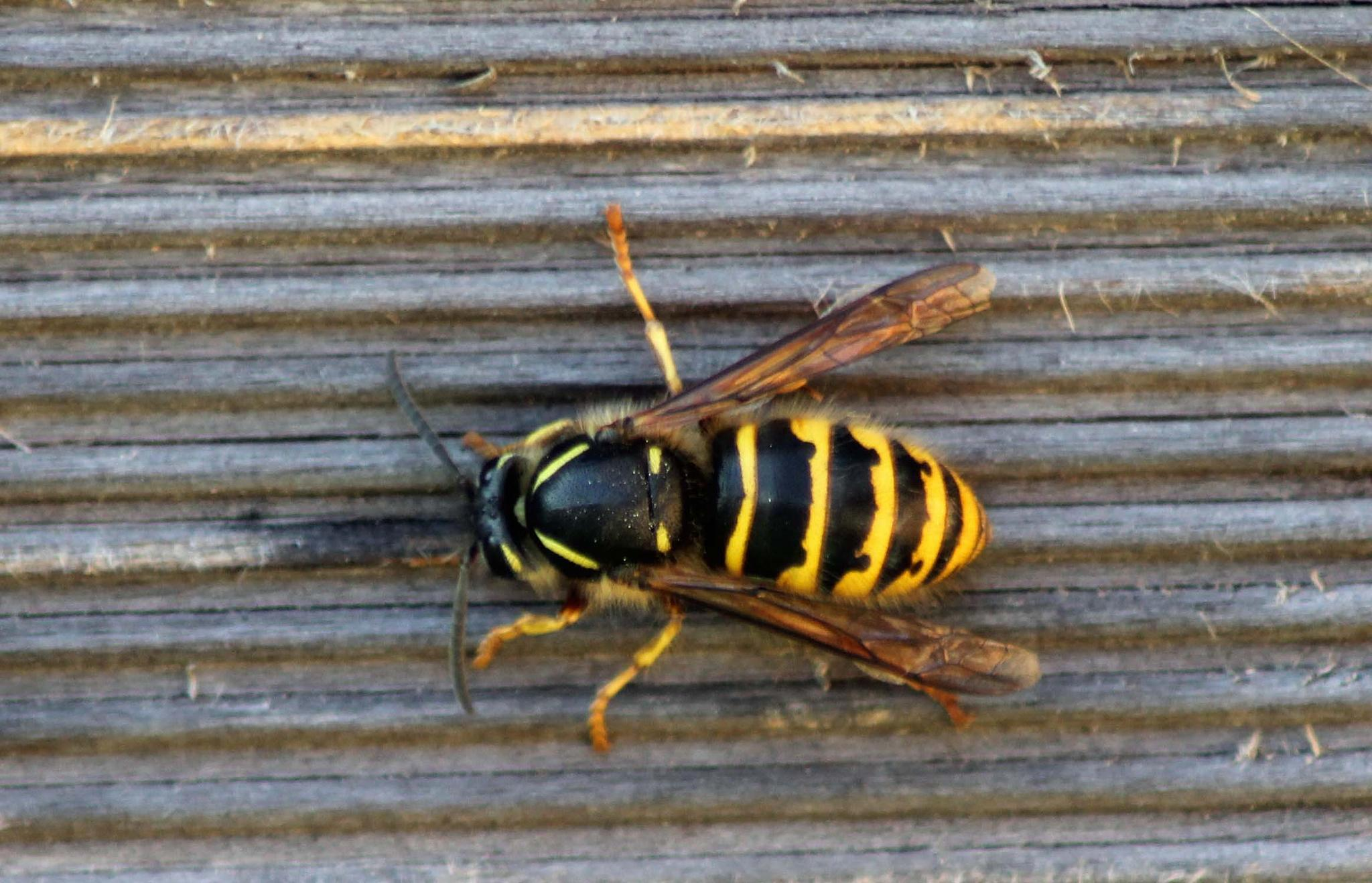 Wasp  by Pian