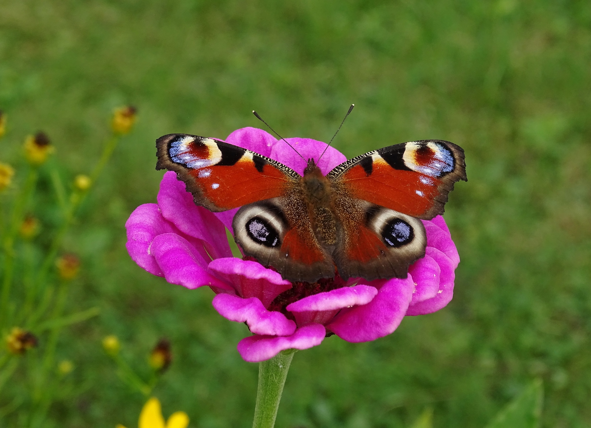 Peacock butterfly by Pian