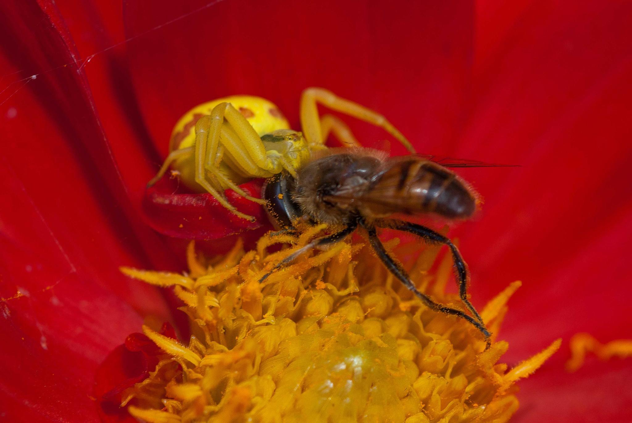 Thomisidae by beautiful flower.