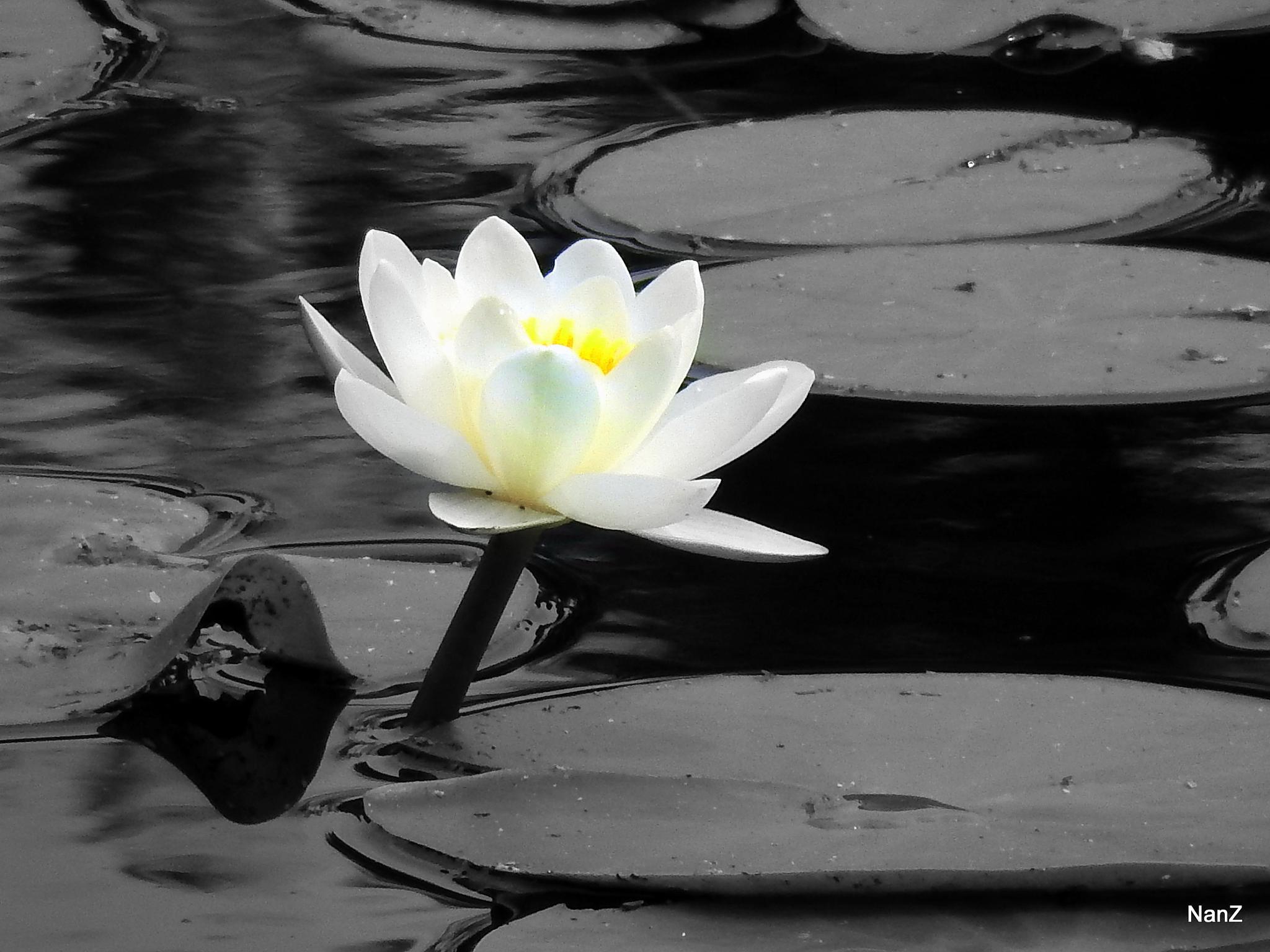 water lily by Nancy Zuiderwijk