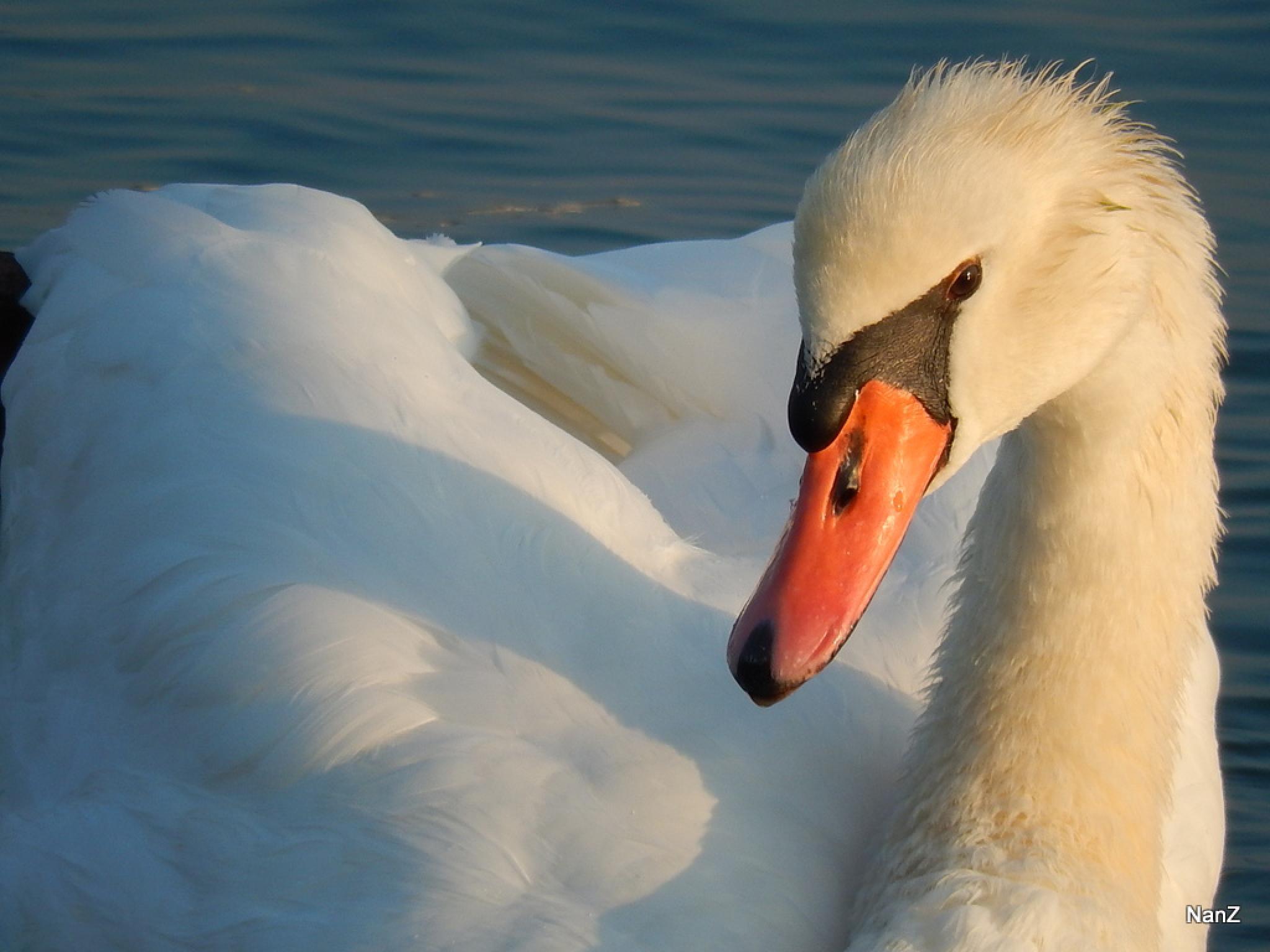 Swan by Nancy Zuiderwijk