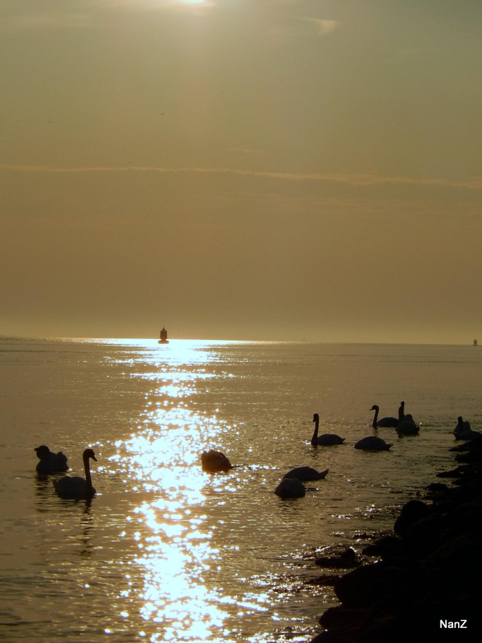 swans by Nancy Zuiderwijk