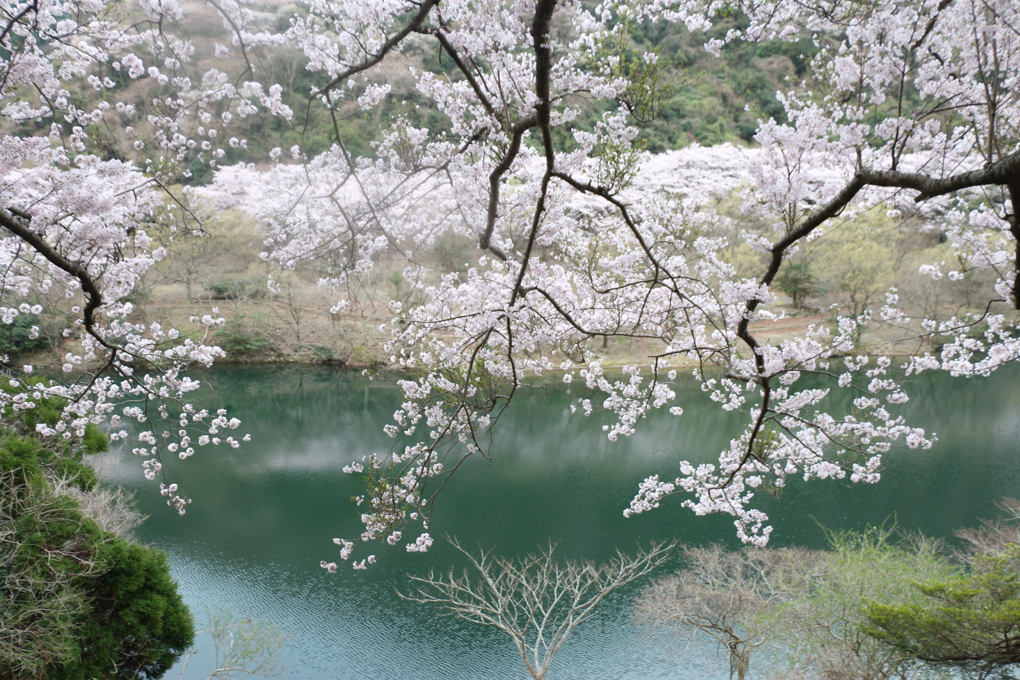 Cherry Blossoms by kenji kakitani       健治 柿谷