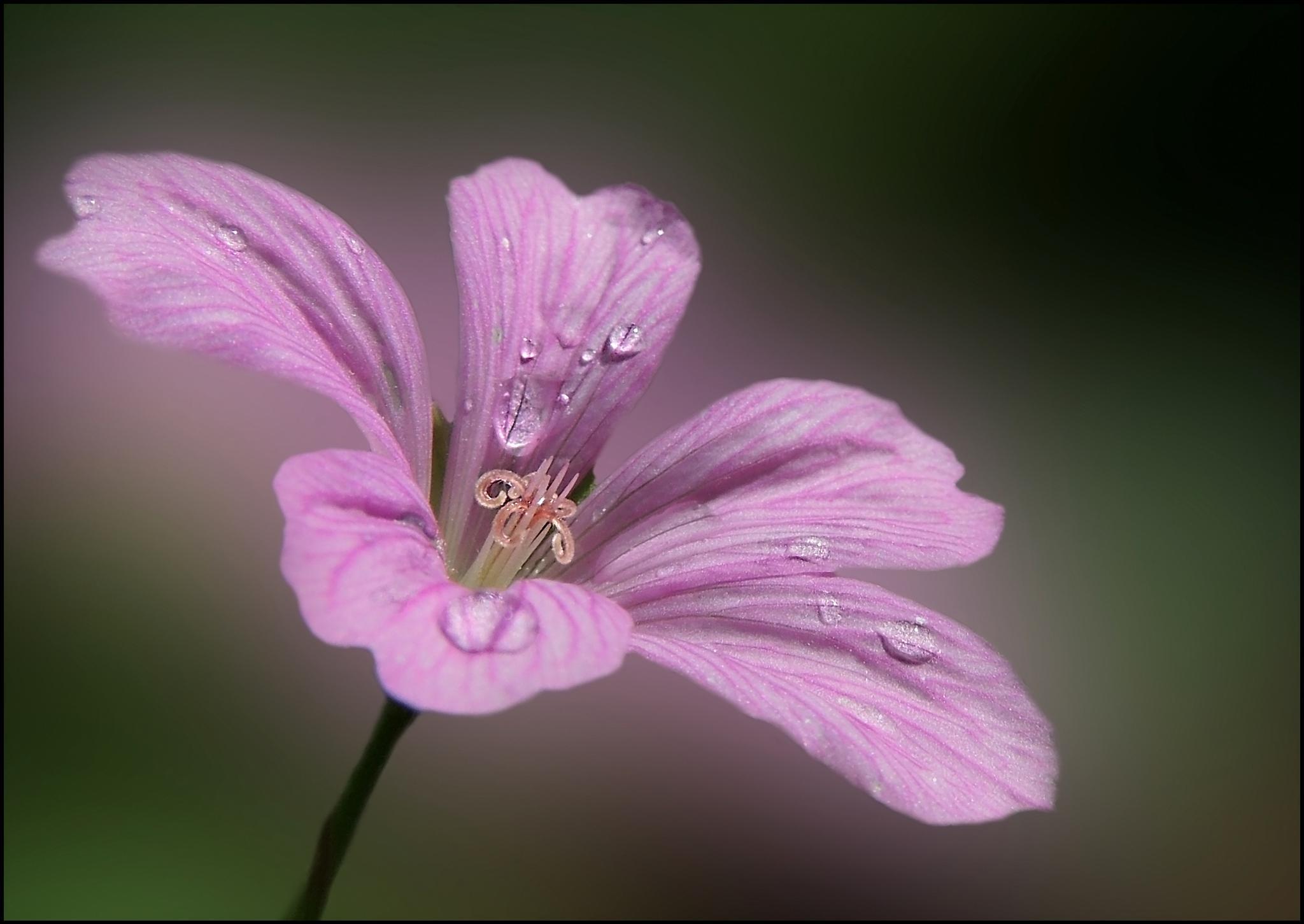 beautiful color pink by karin.kremers.5