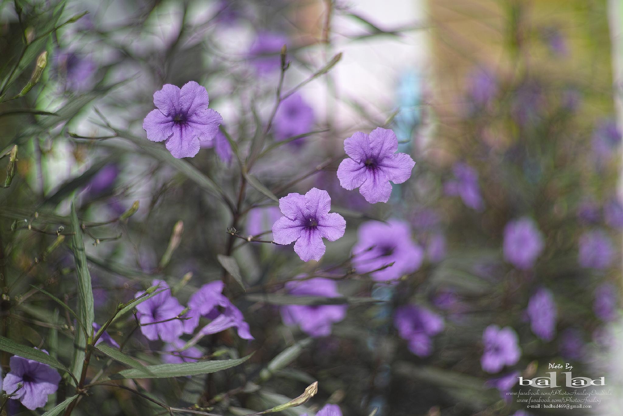 Ruellia tuberosa Linn by PhotoAnalog