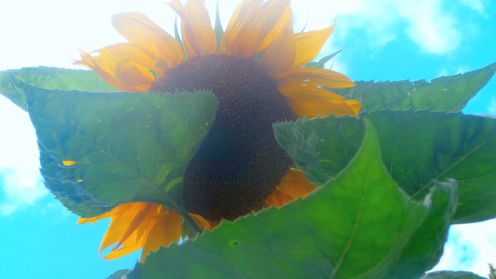 sunflower by tina.linge.3