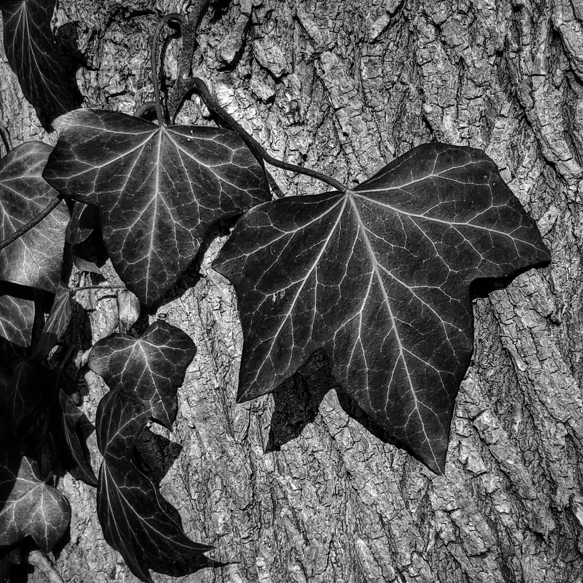Ivy detail  by Joan Phinn