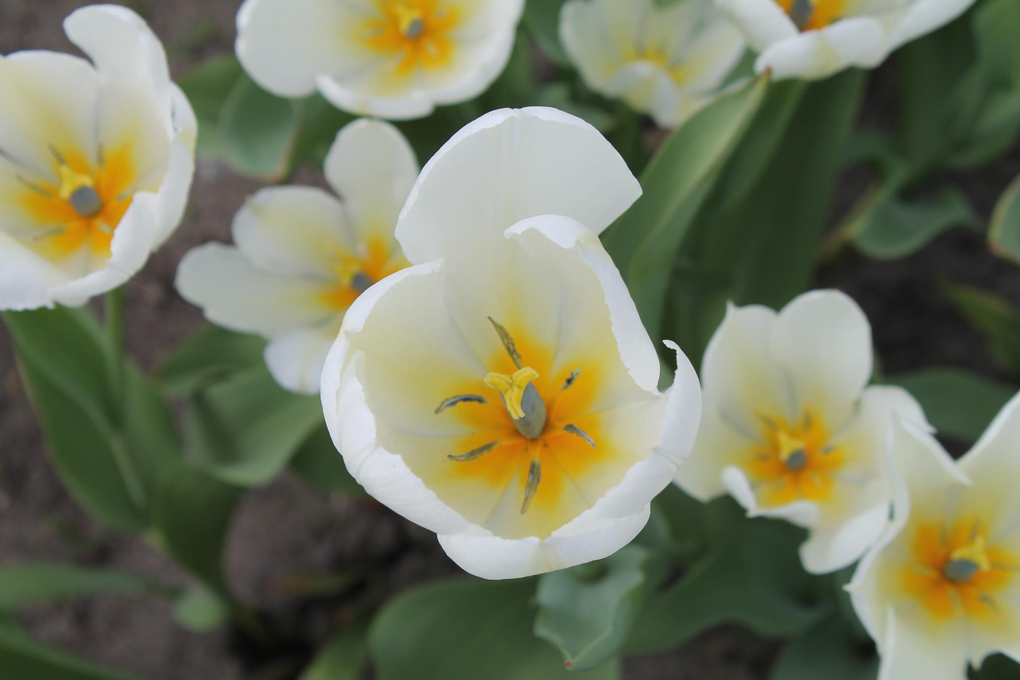 Tulip Festival Ottawa, Canada by Robert Rusaw