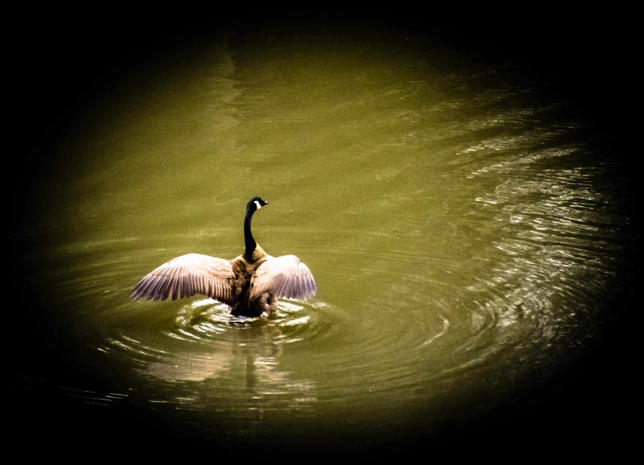 Canadian goose by Bonnie Rhoades