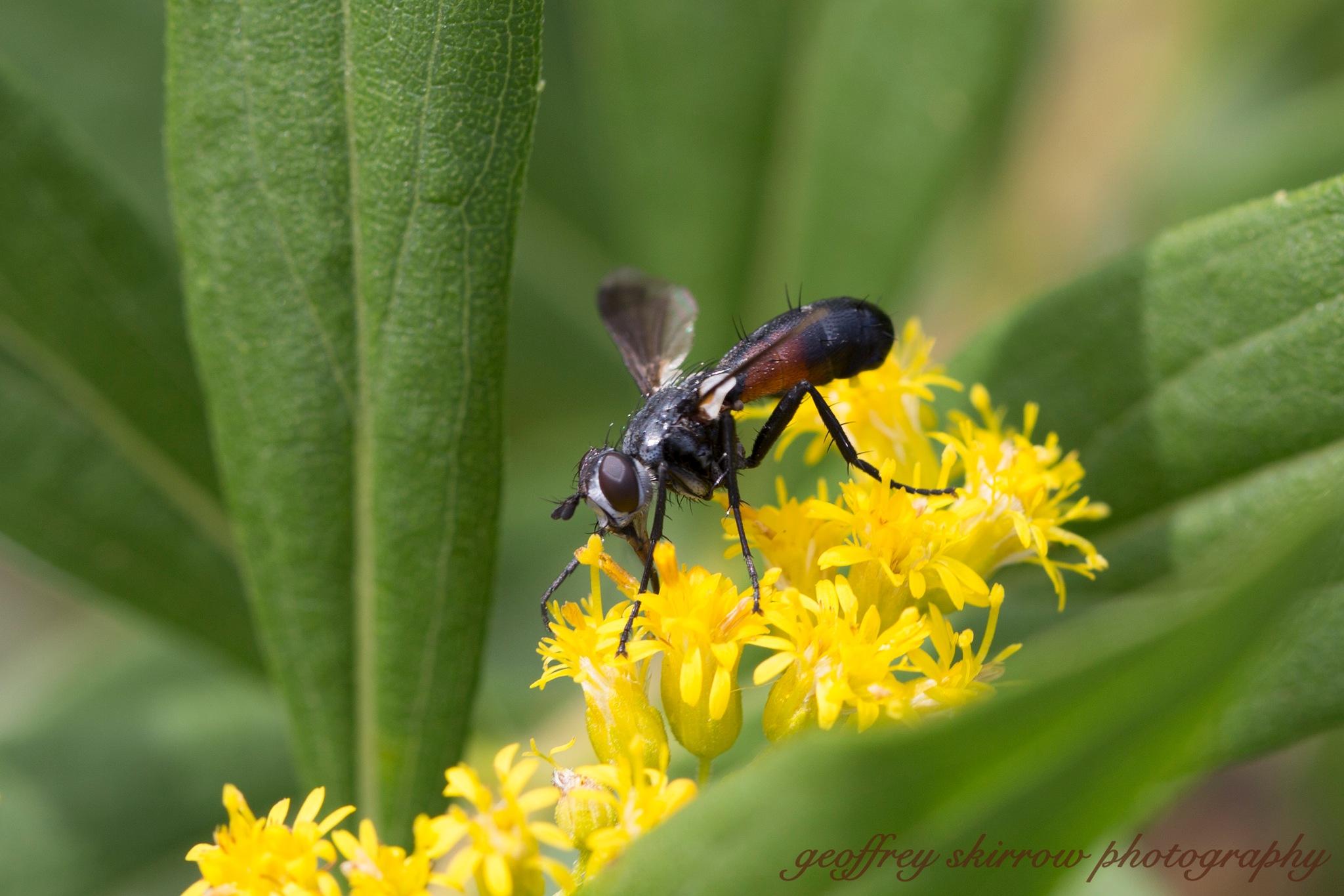 Fly on a yellow flower by geoffreyskirrow