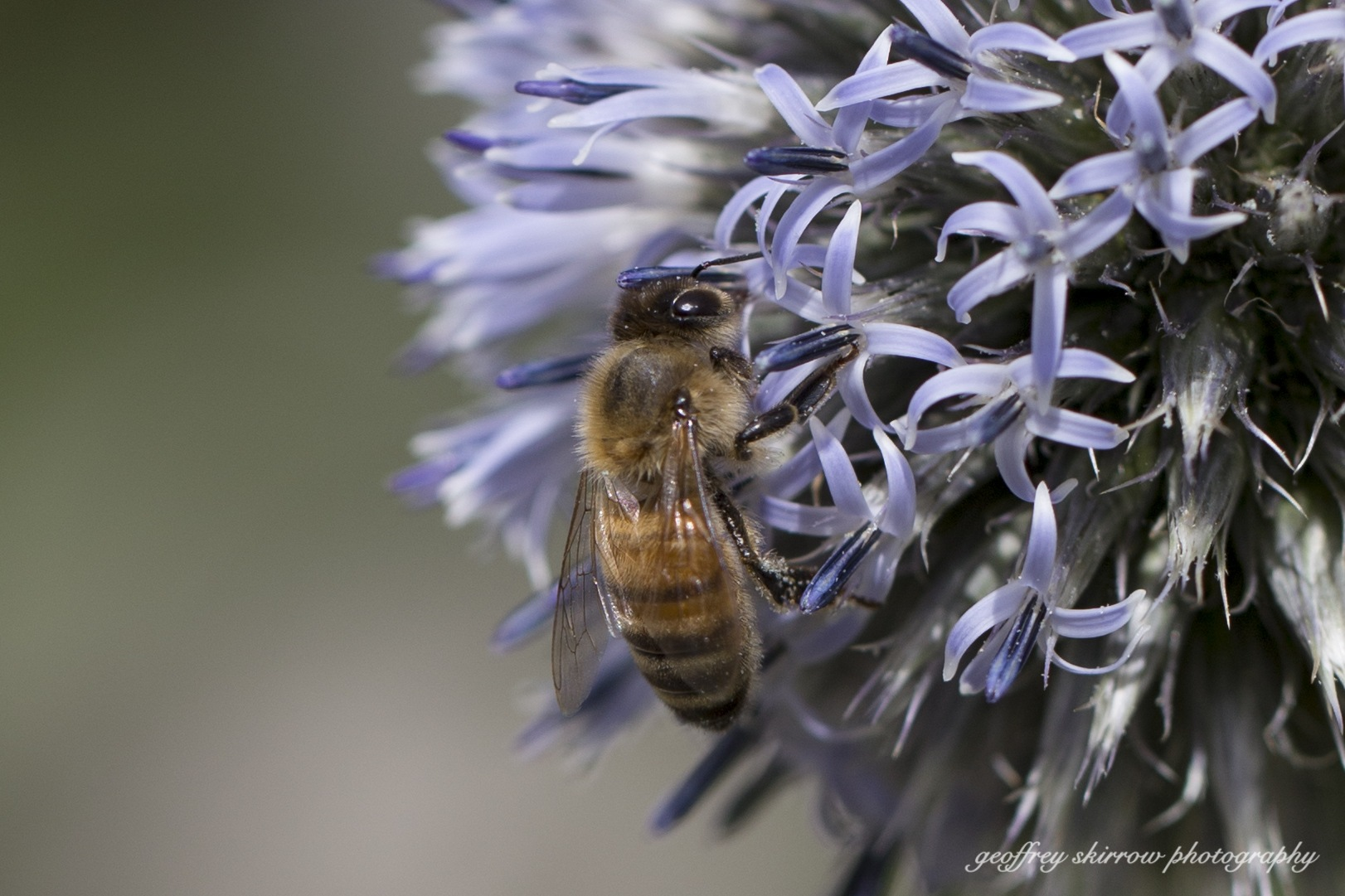 Kelowna BC Bee by geoffreyskirrow