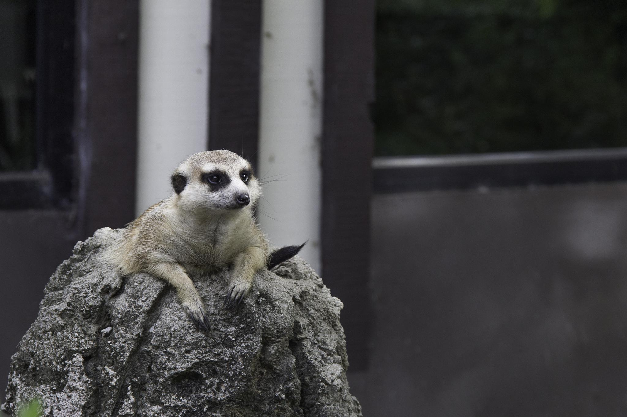 Meerkat by Christopher Ward
