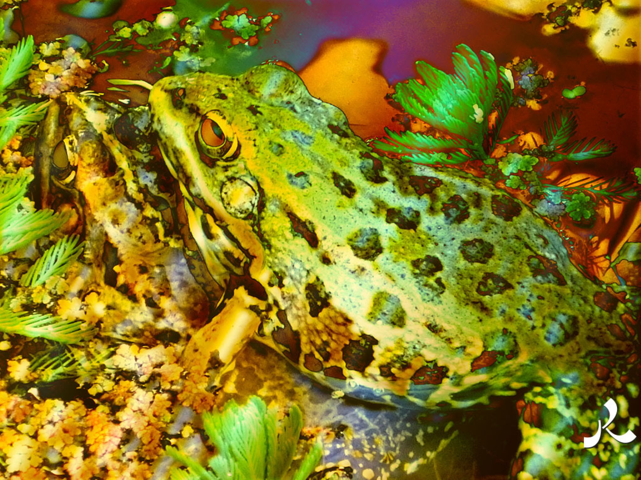 2frogs902-15iwor by jacquesraffin