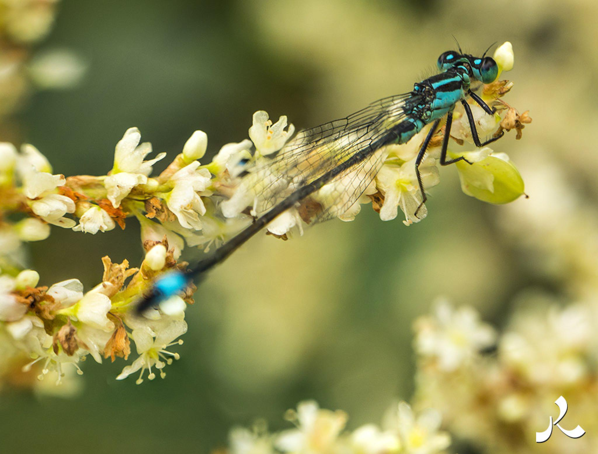 Turquoise dragonfly by jacquesraffin