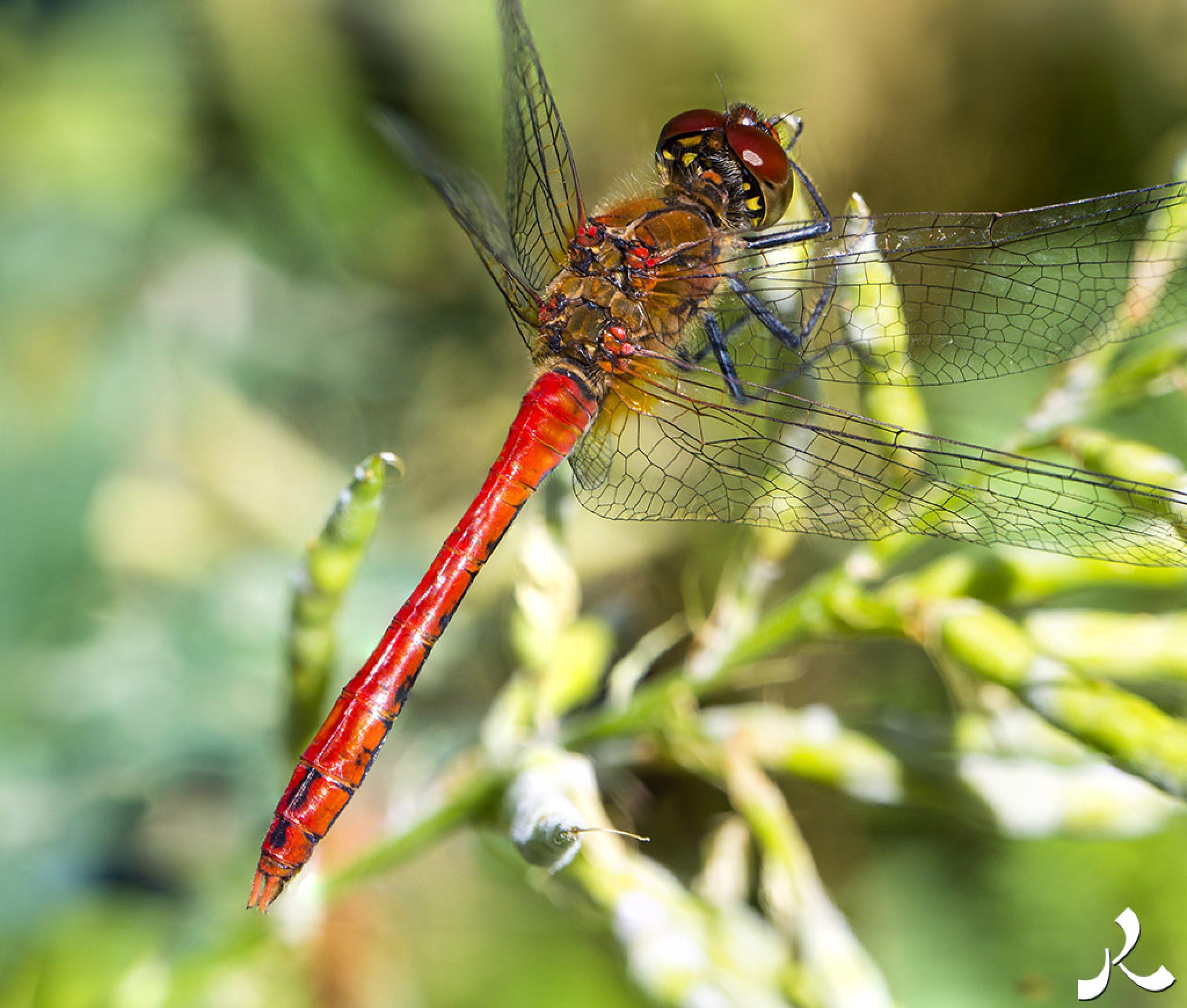 Red dragonfly of Paris by jacquesraffin