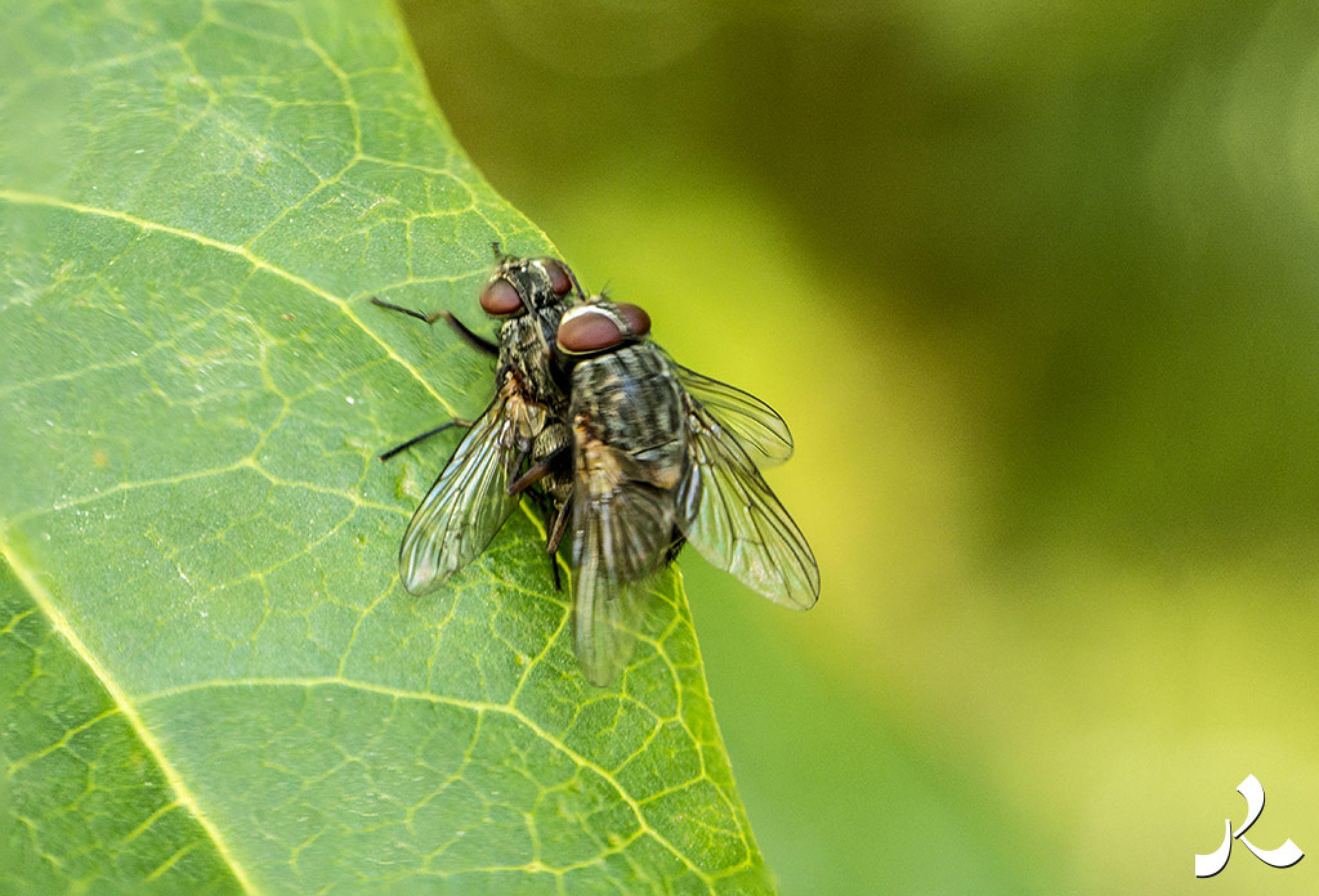 Flies in love  by jacquesraffin