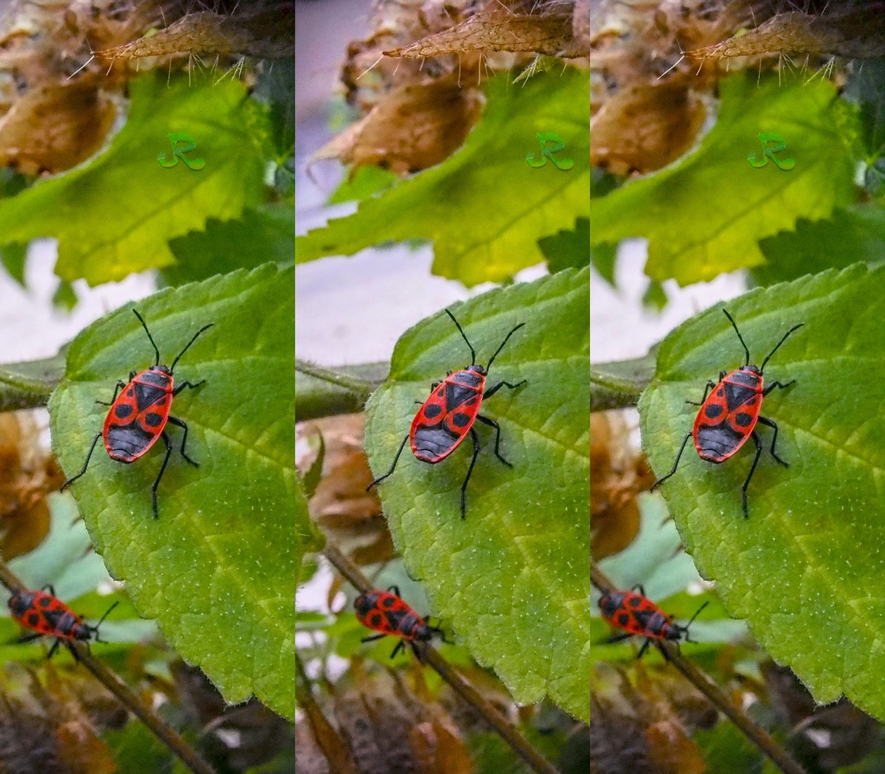 Red devil on the green… — Stereoscopy by jacquesraffin