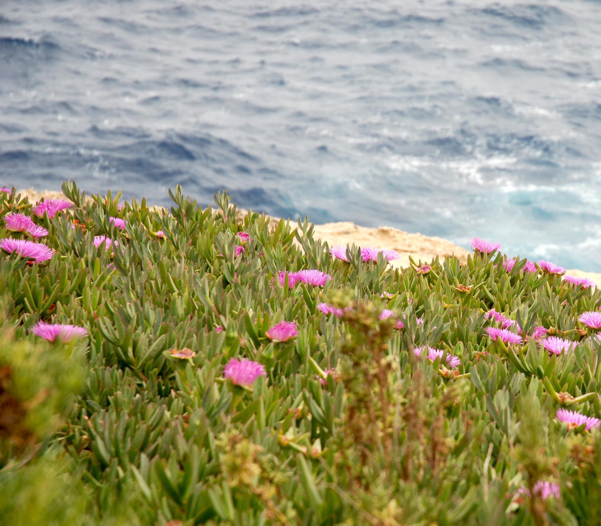 Malta flowers by leena.ekroth