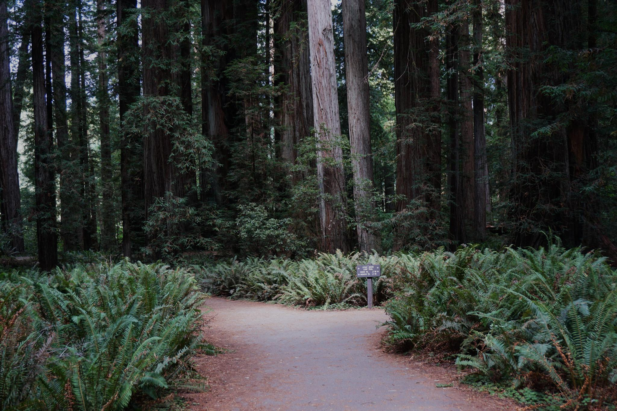 A Road in Redwoods by Gina Hammon
