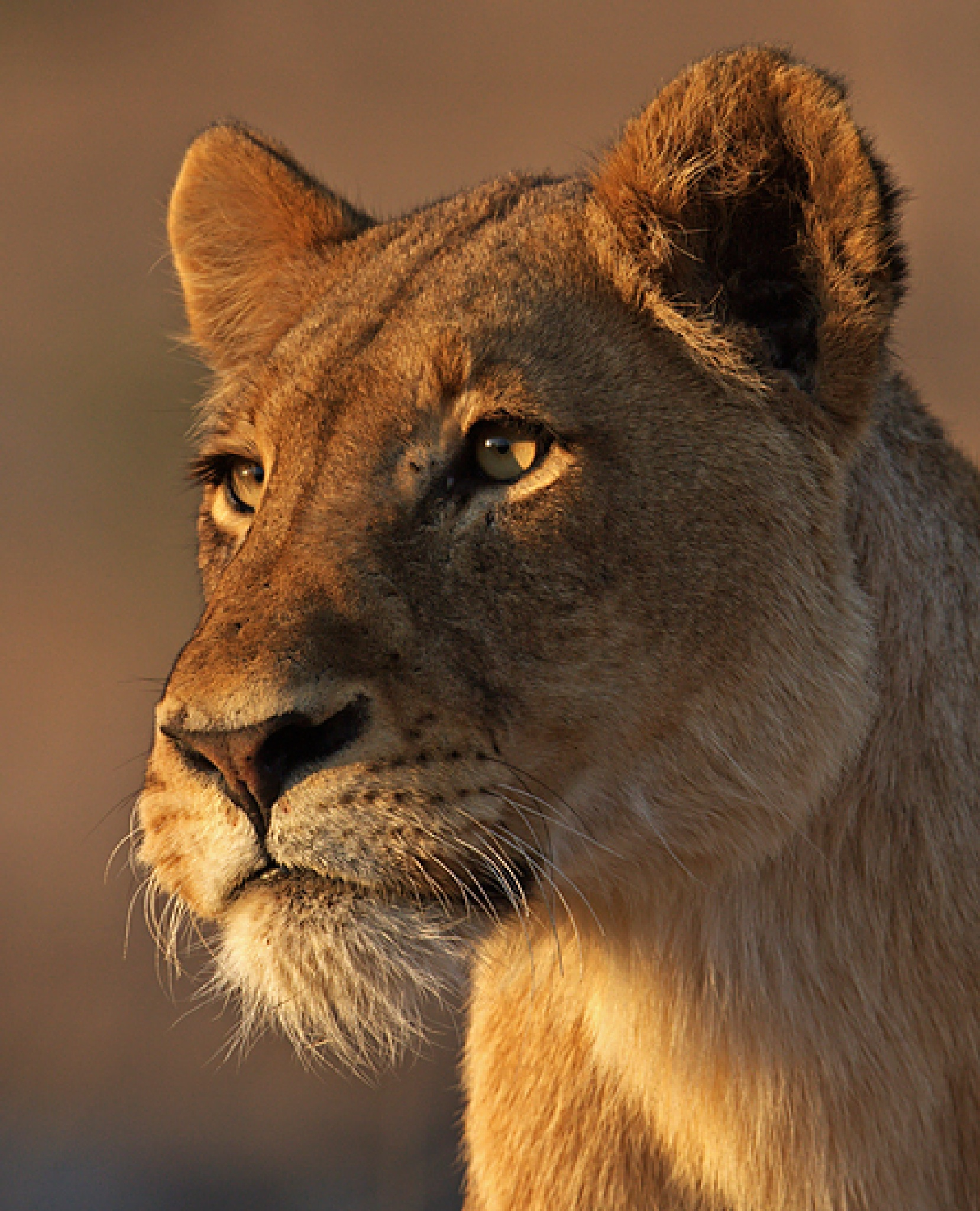 The Lioness by mzrice528