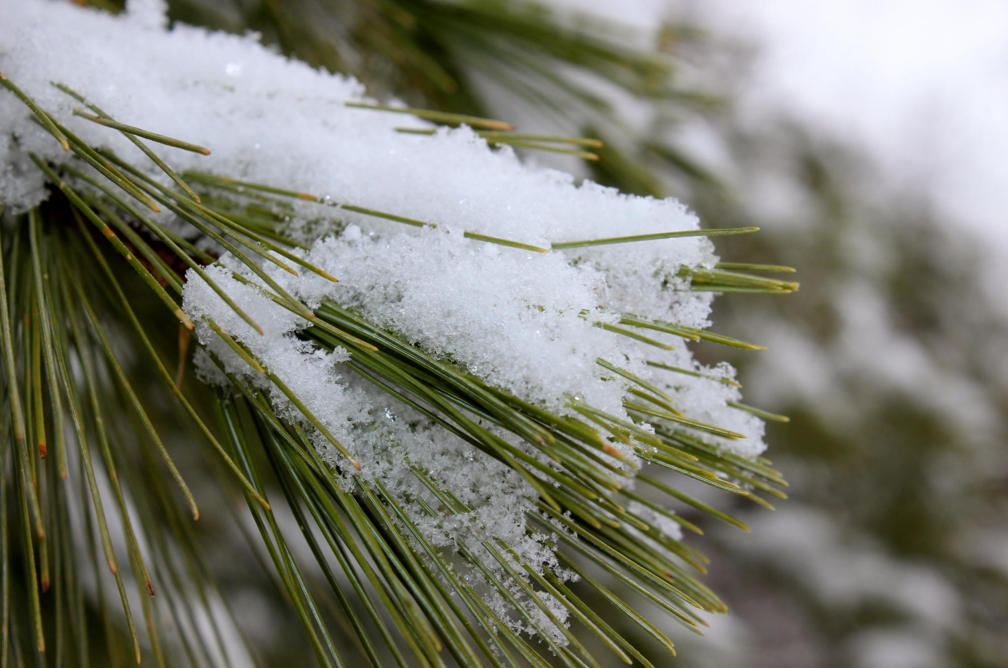 Fresh snow on the pine needles. by Angela Mead
