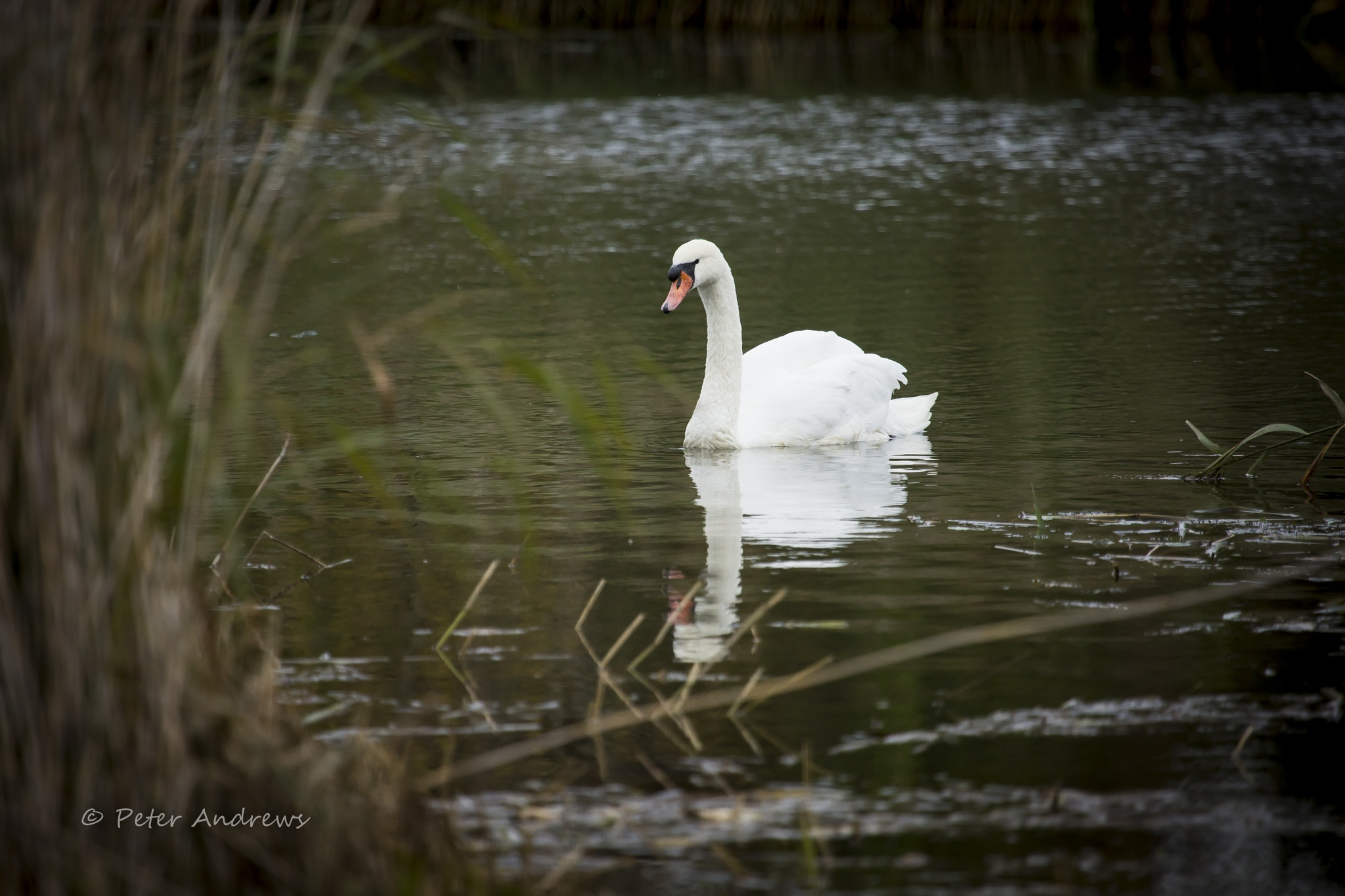 Swan by pa59