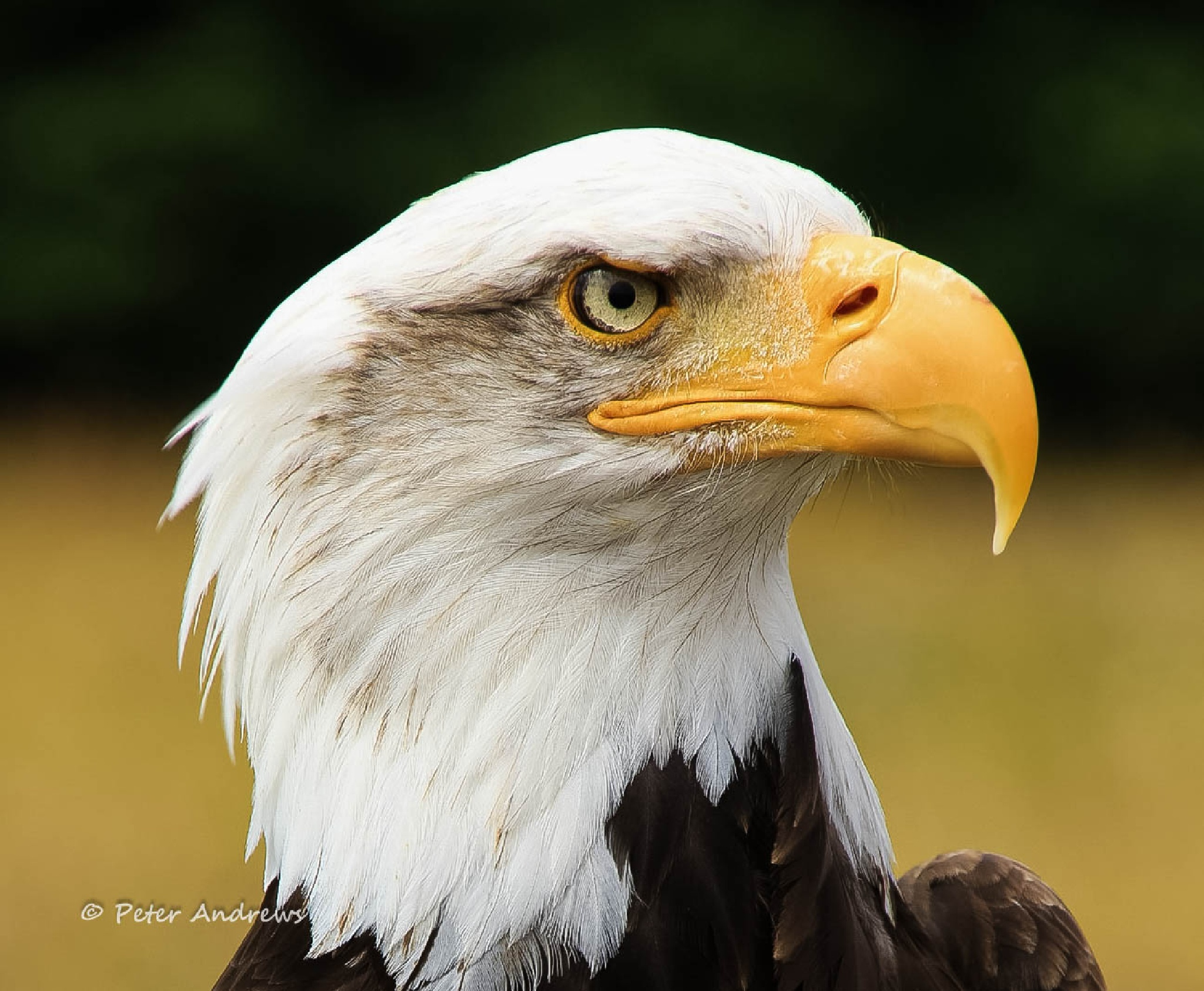 Eagle by pa59
