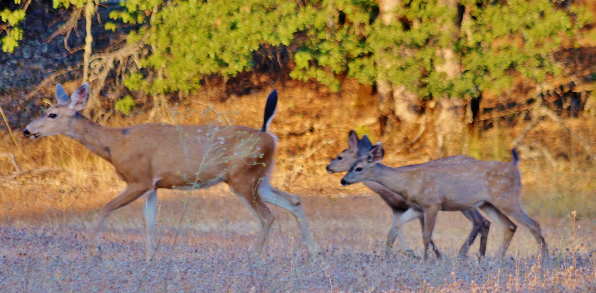 Oh deer and 2 doe by KIM