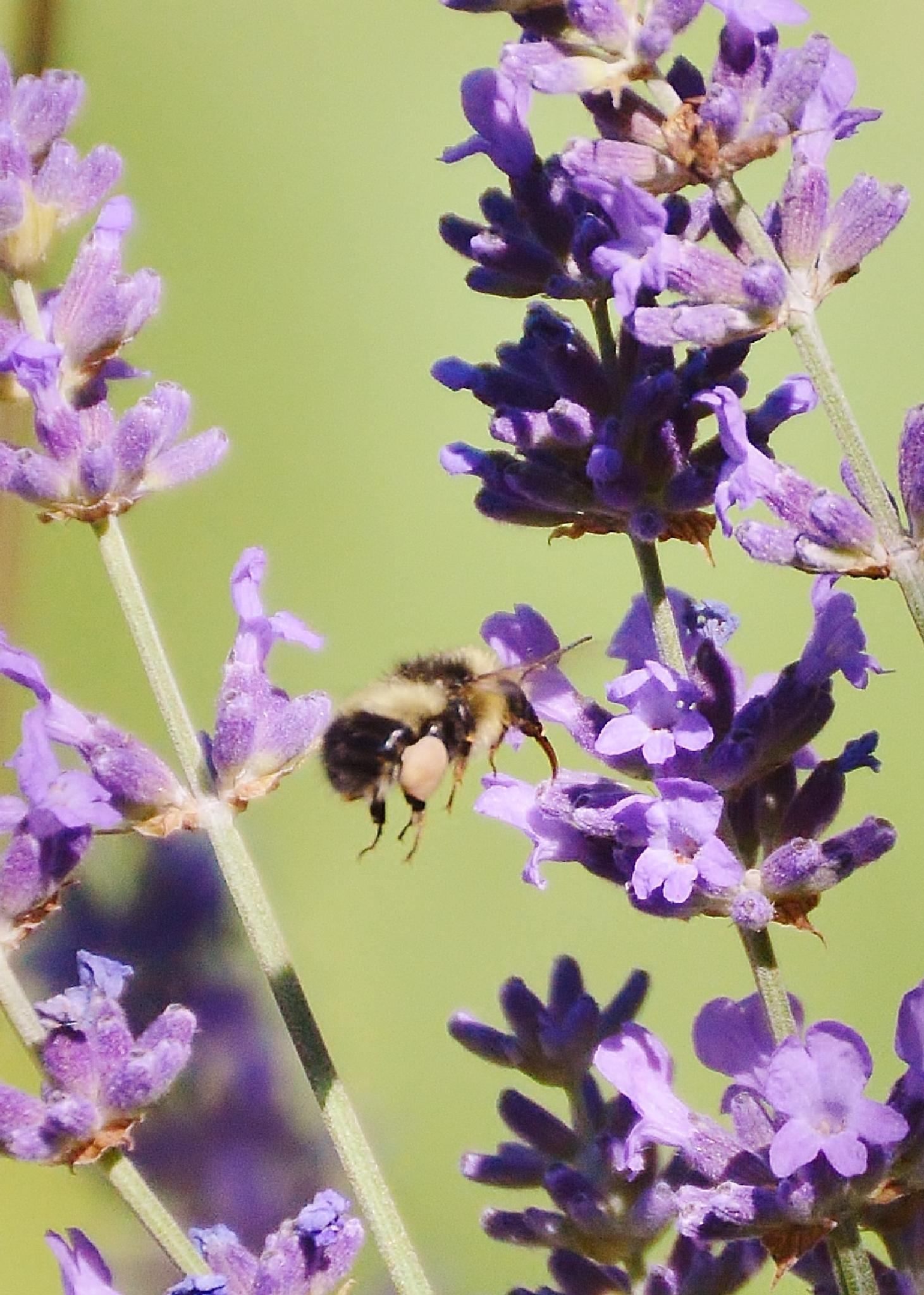 Bee on lavender by KIM