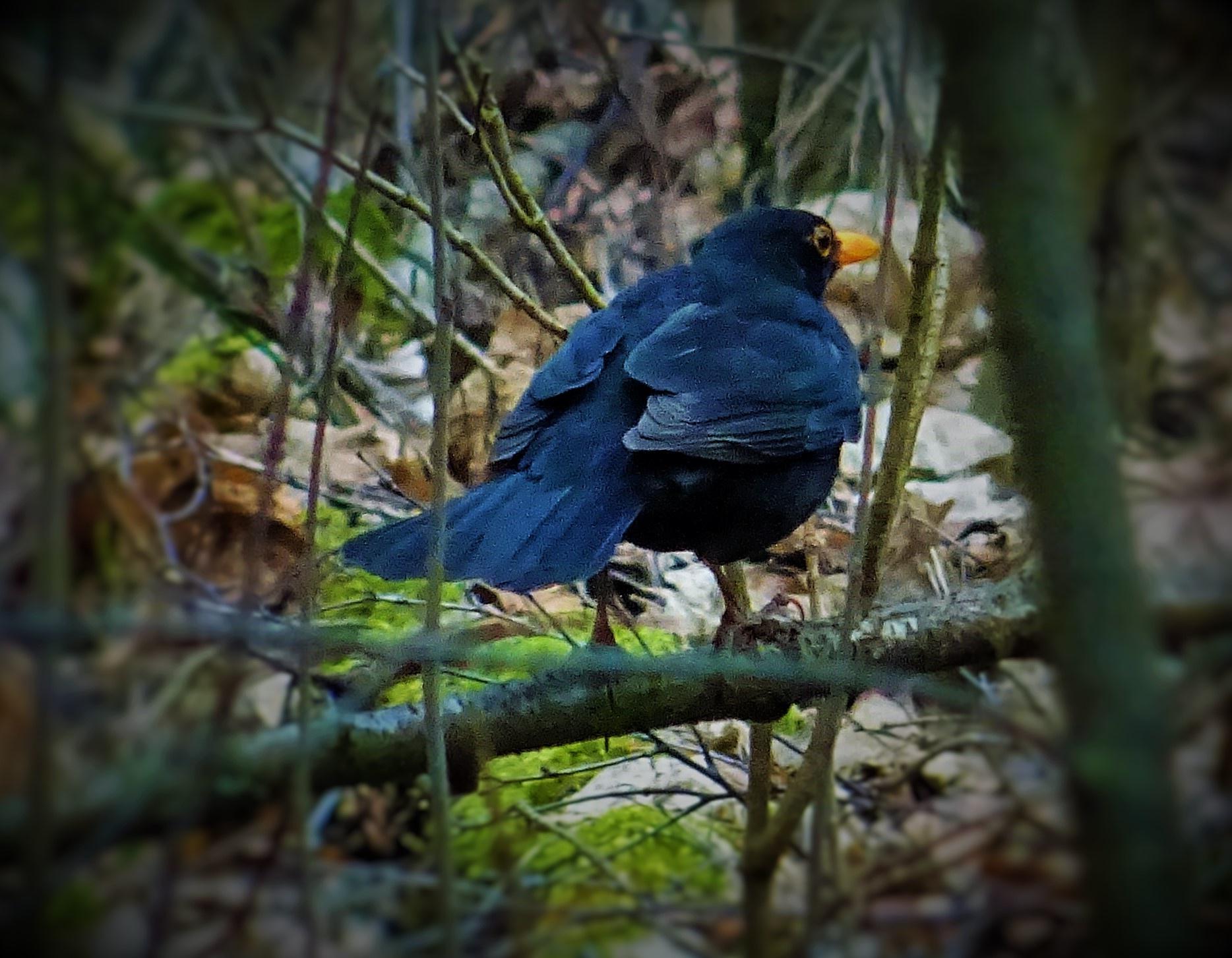 A blackbird. by vita.tucaite