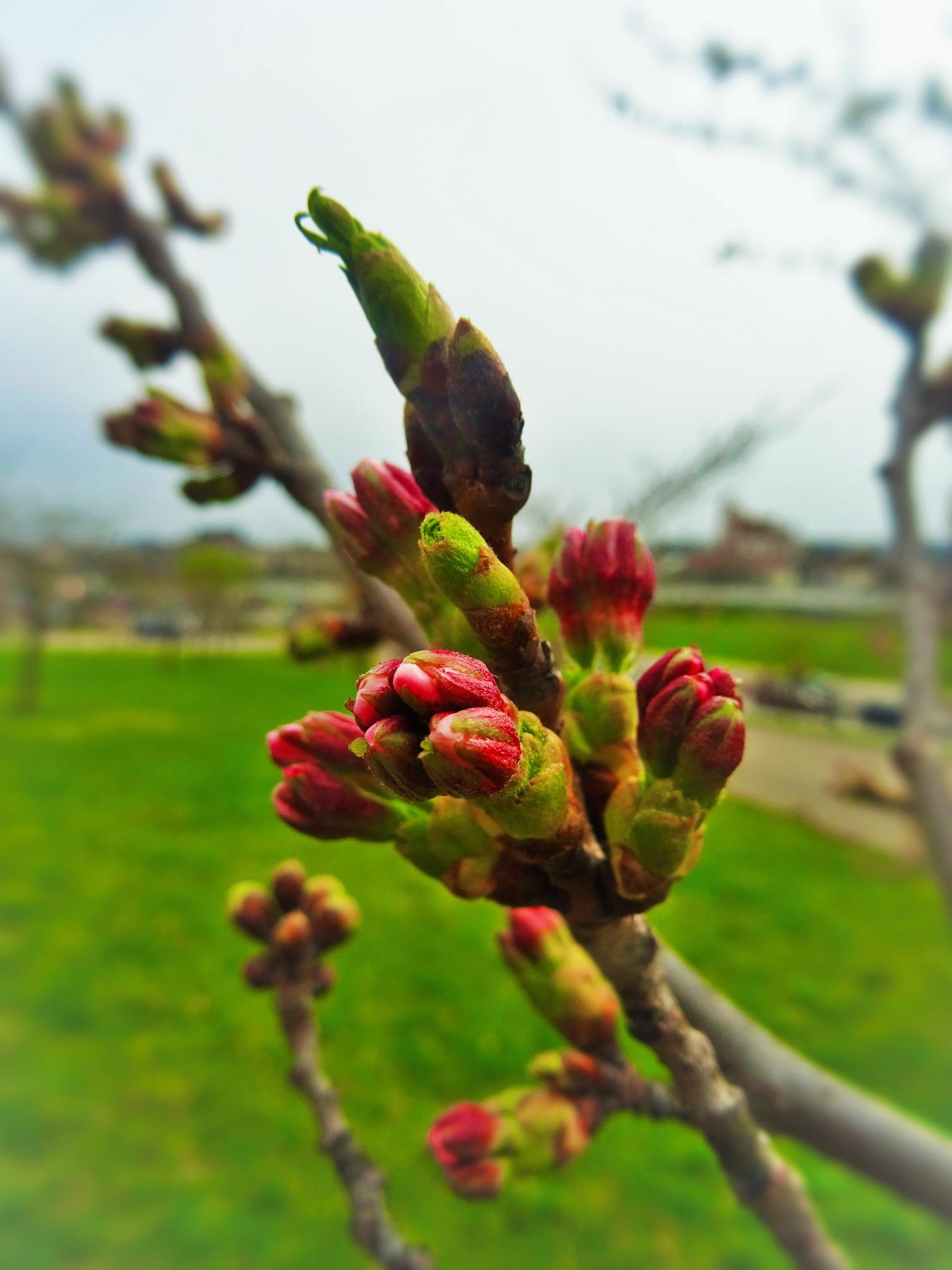 Sakura is ready to blossom in Vilnius. by vita.tucaite
