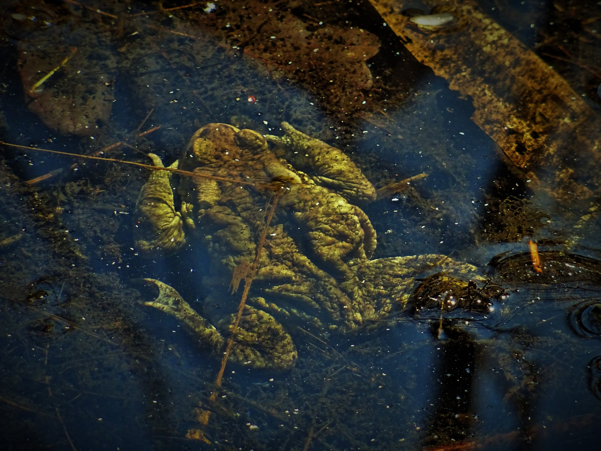 A toad under the water. by vita.tucaite