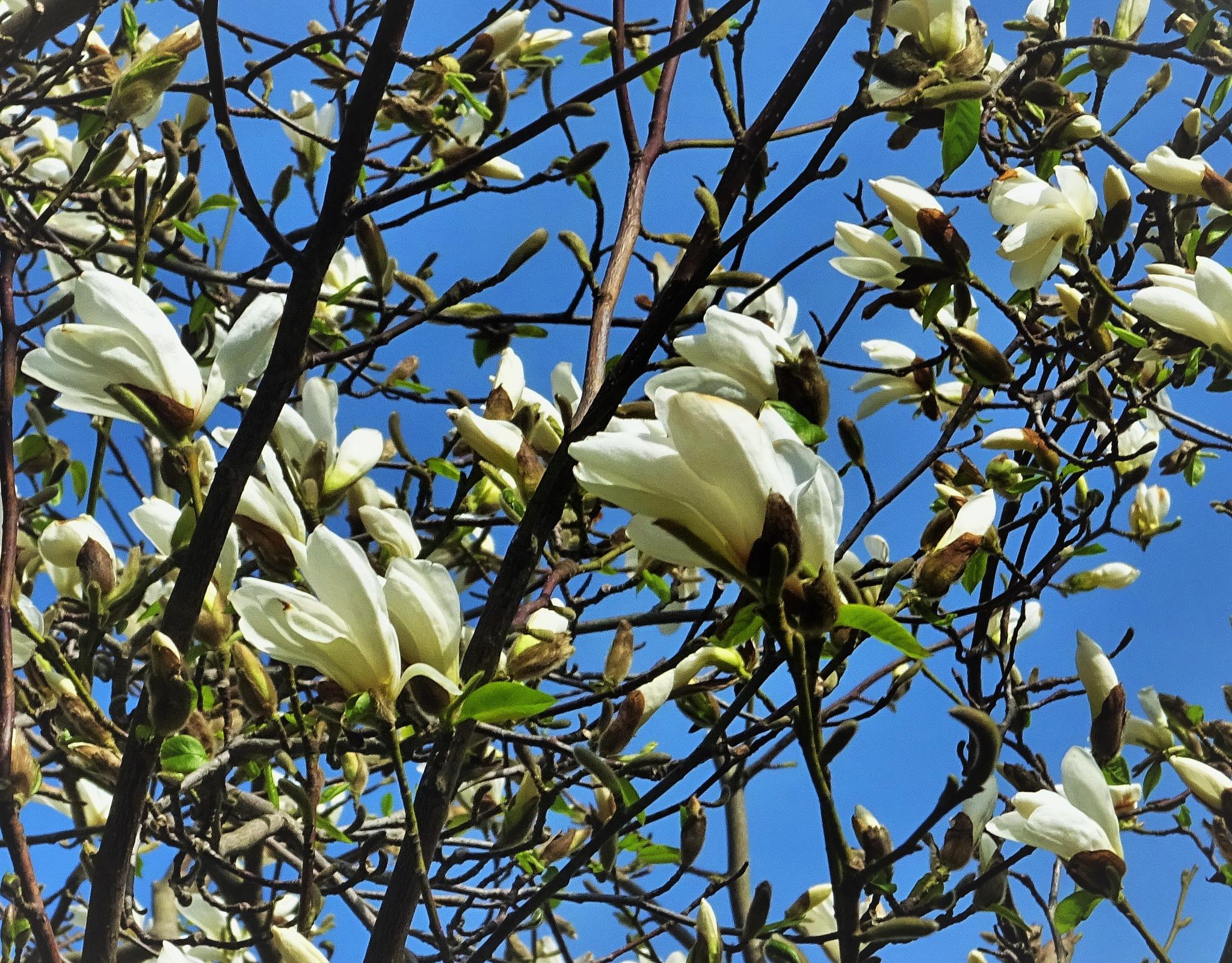 Magnolia. by vita.tucaite