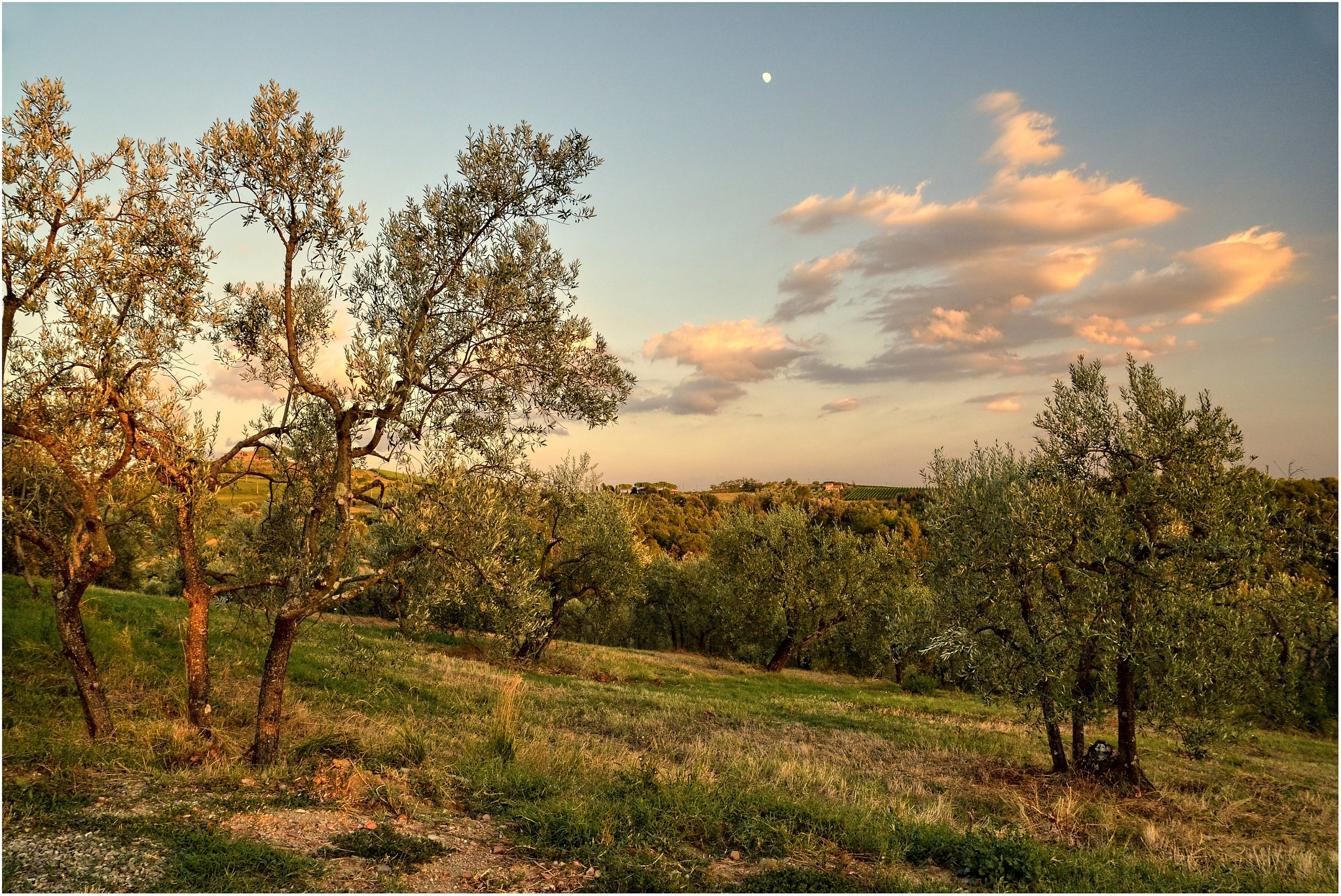 olive tree by sylwester.sikora