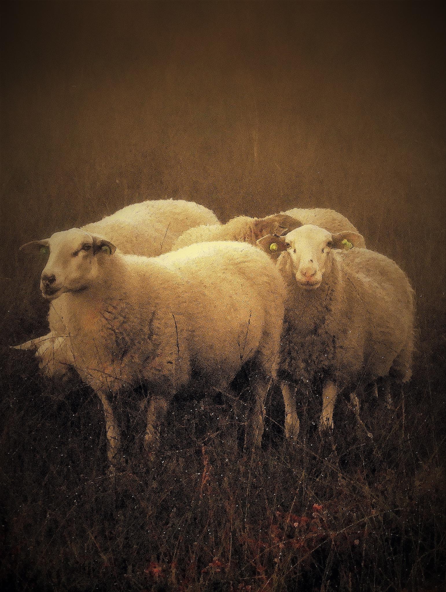 sheep by johan.vandergouw